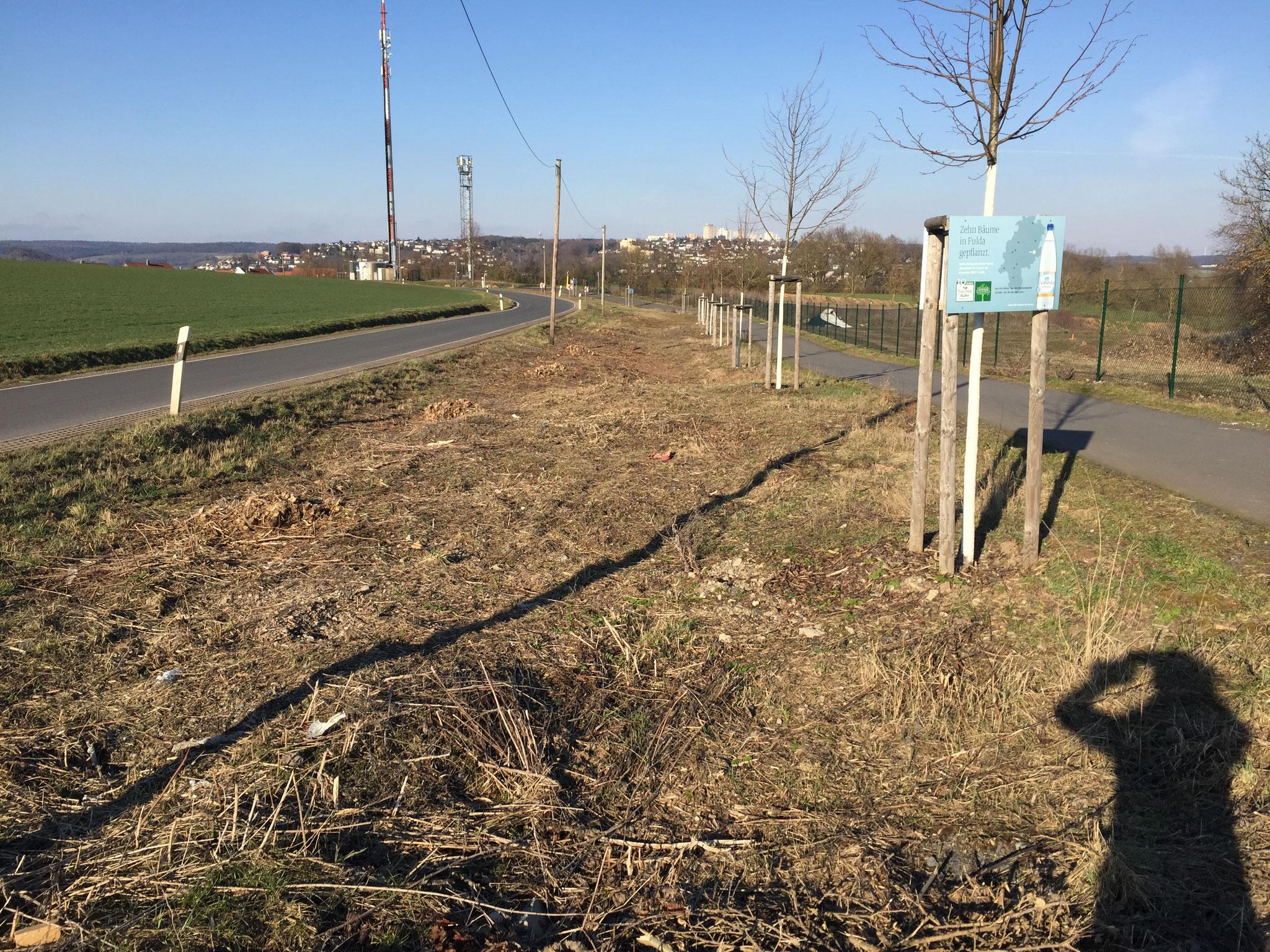 zwischen Haimbach und Maberzell: hier wurden alte Bäume gefällt, um junge Bäume zu pflanzen