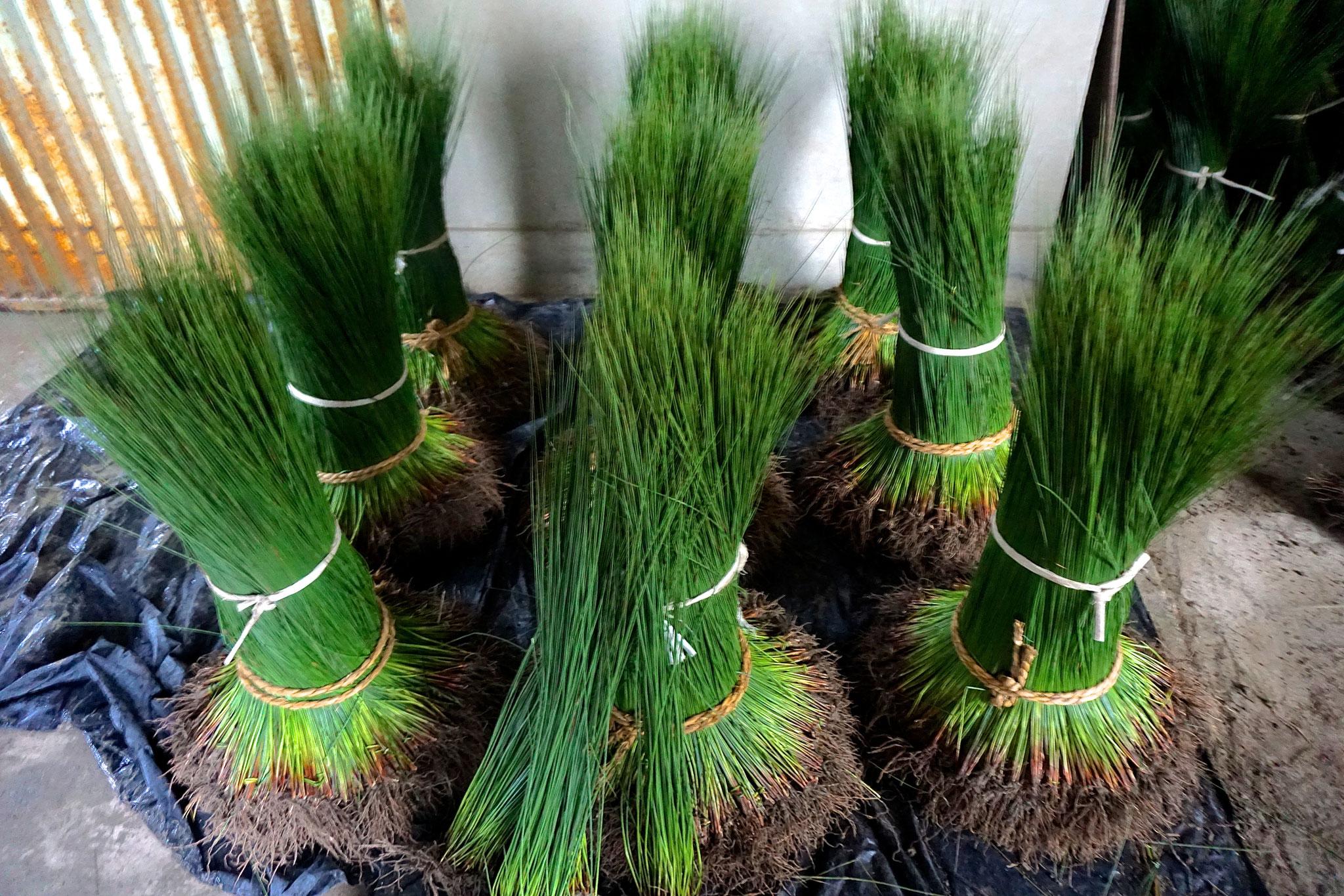 熊本県八代産い草原草です