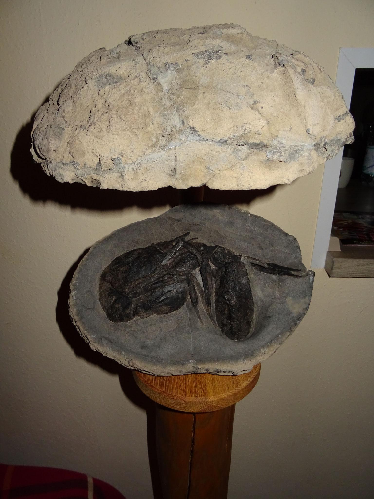 Phosphoritnodule with Homarus percyi from Leipzig Espenhain