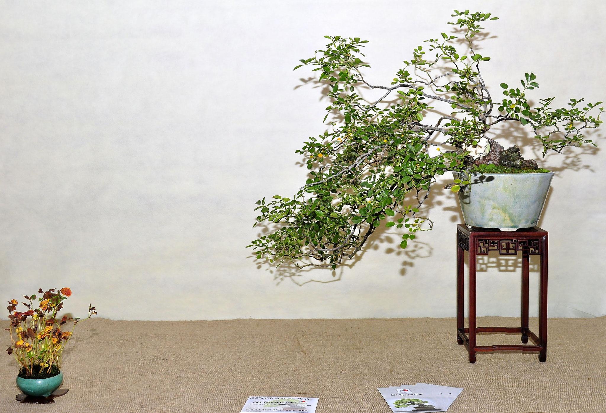 Rosa  Bonsai