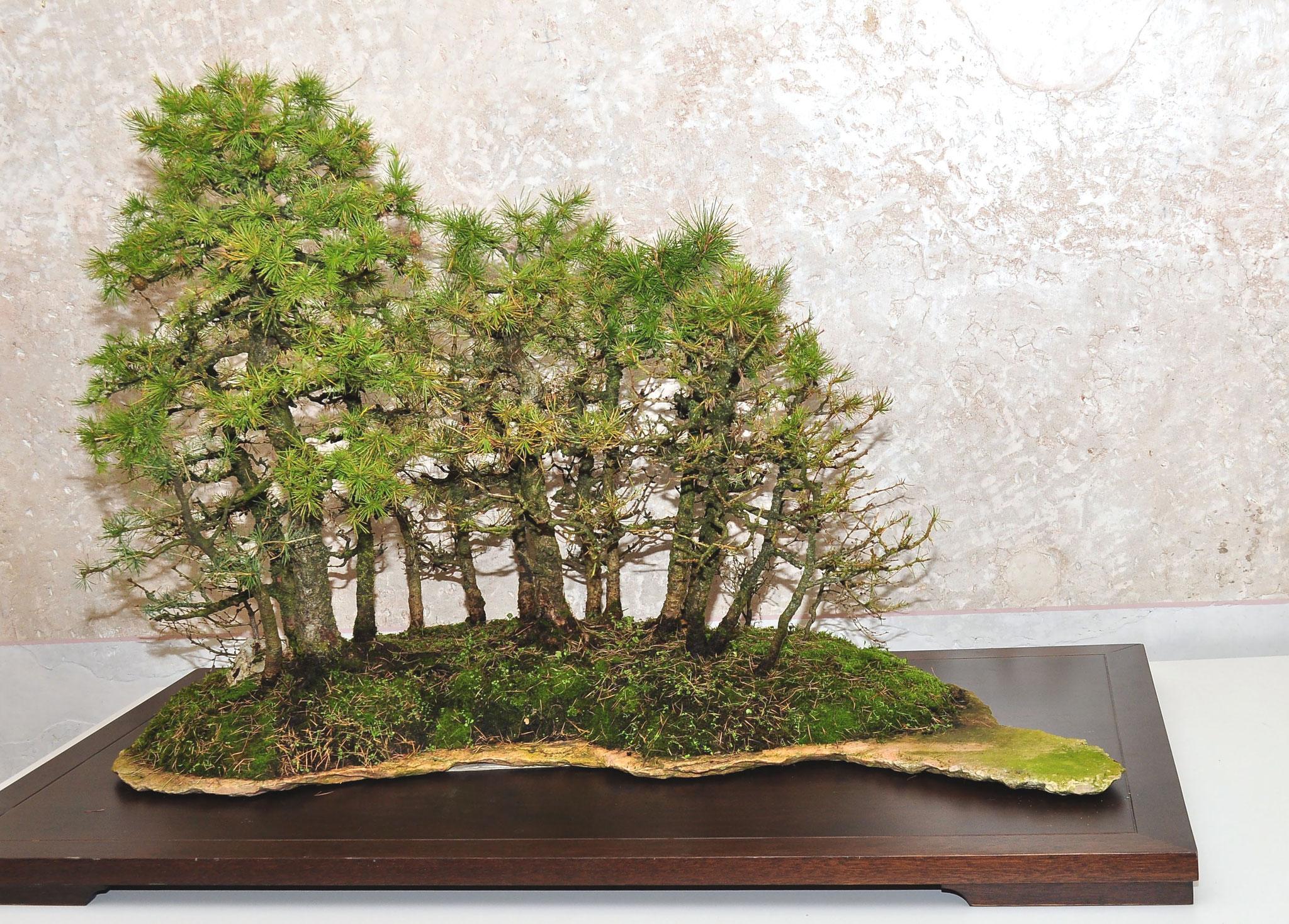 Larice (Larix decidua)- Stile bosco su lastra