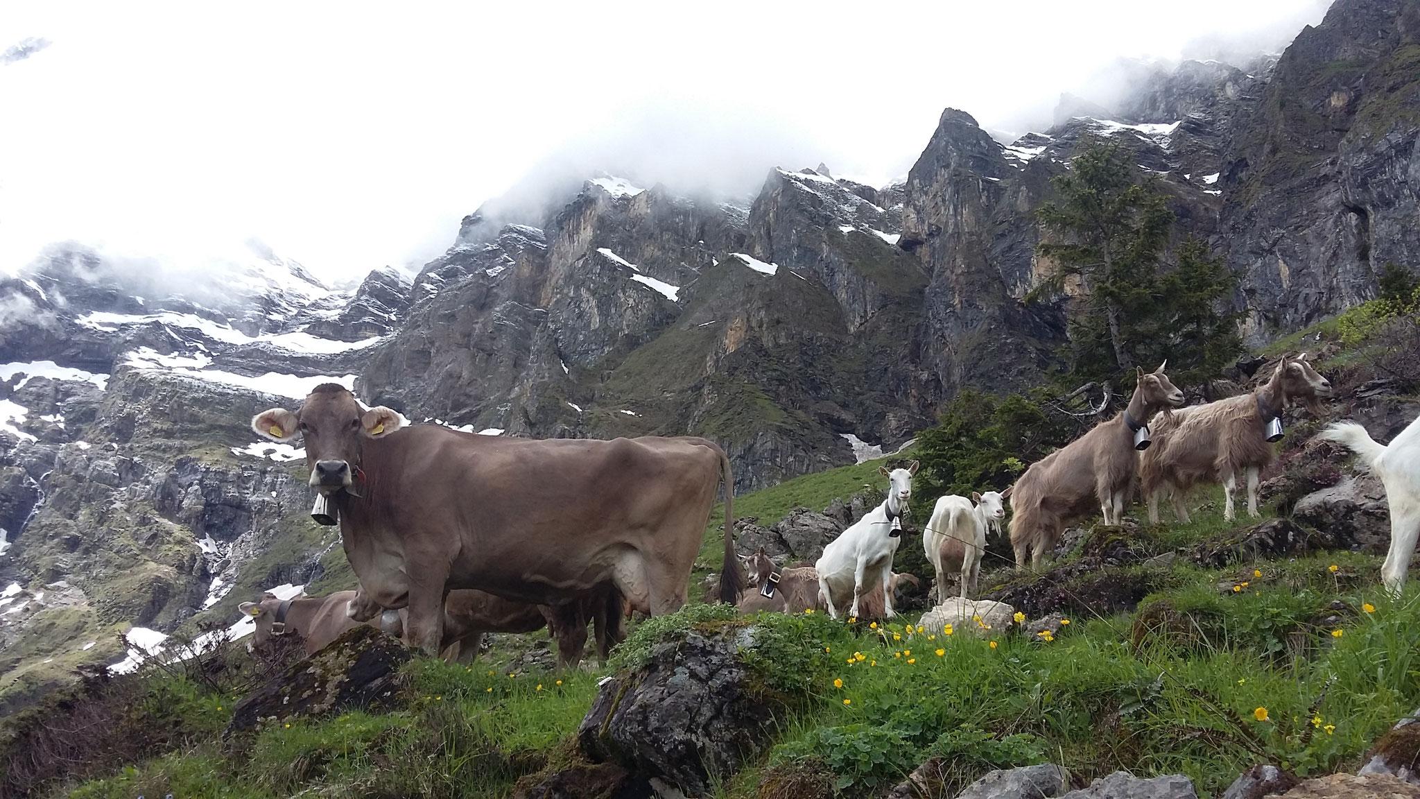 ... und laufen bei uns frei umher, manchmal auch mit den Kühen.