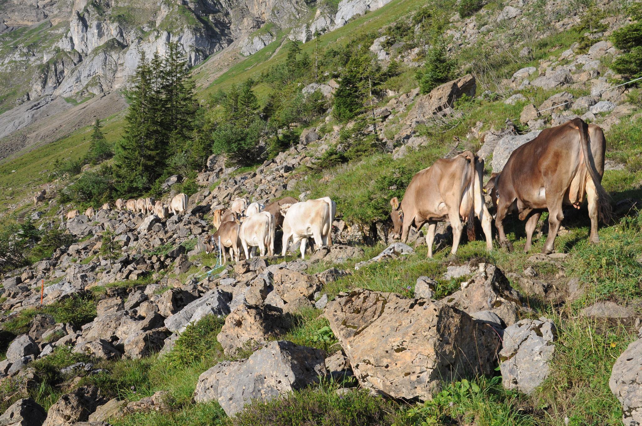 Die Kühe auf dem Weg vom Melkstand zur Weide.