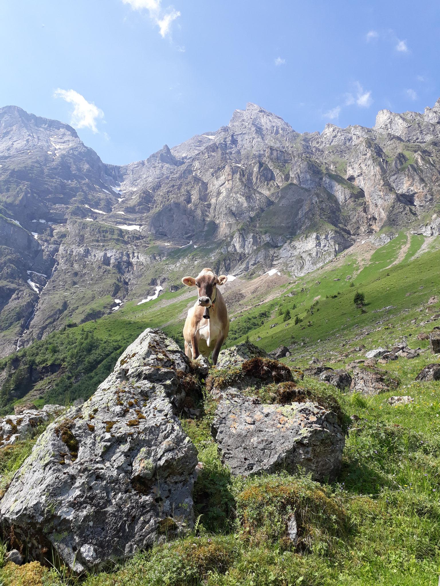 Die Kühe geniessen das Leben auf der Alp, hier Vroni.