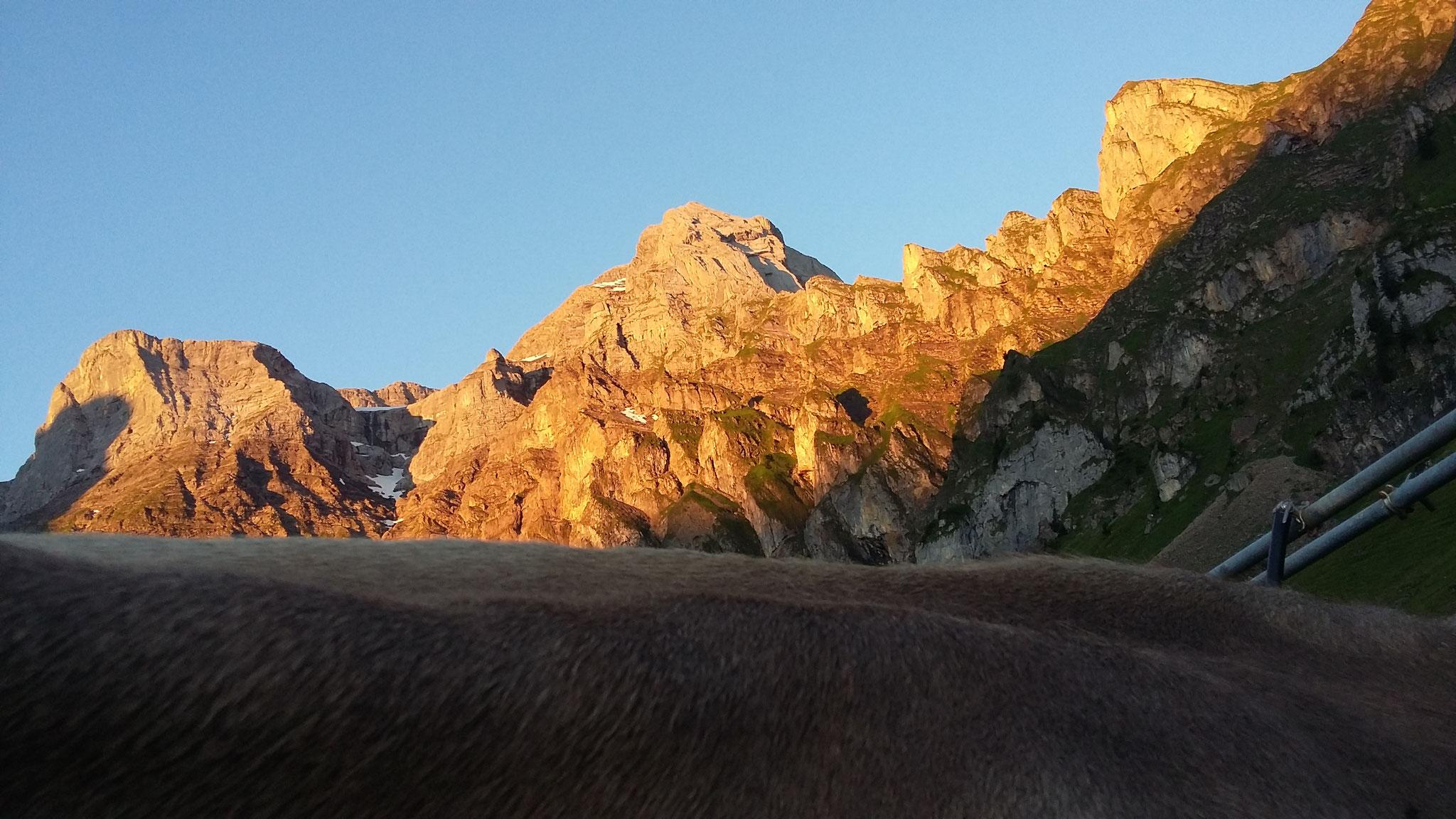 Kühe, Berge, Morgensonne - was will man mehr beim Freiluftmelken.