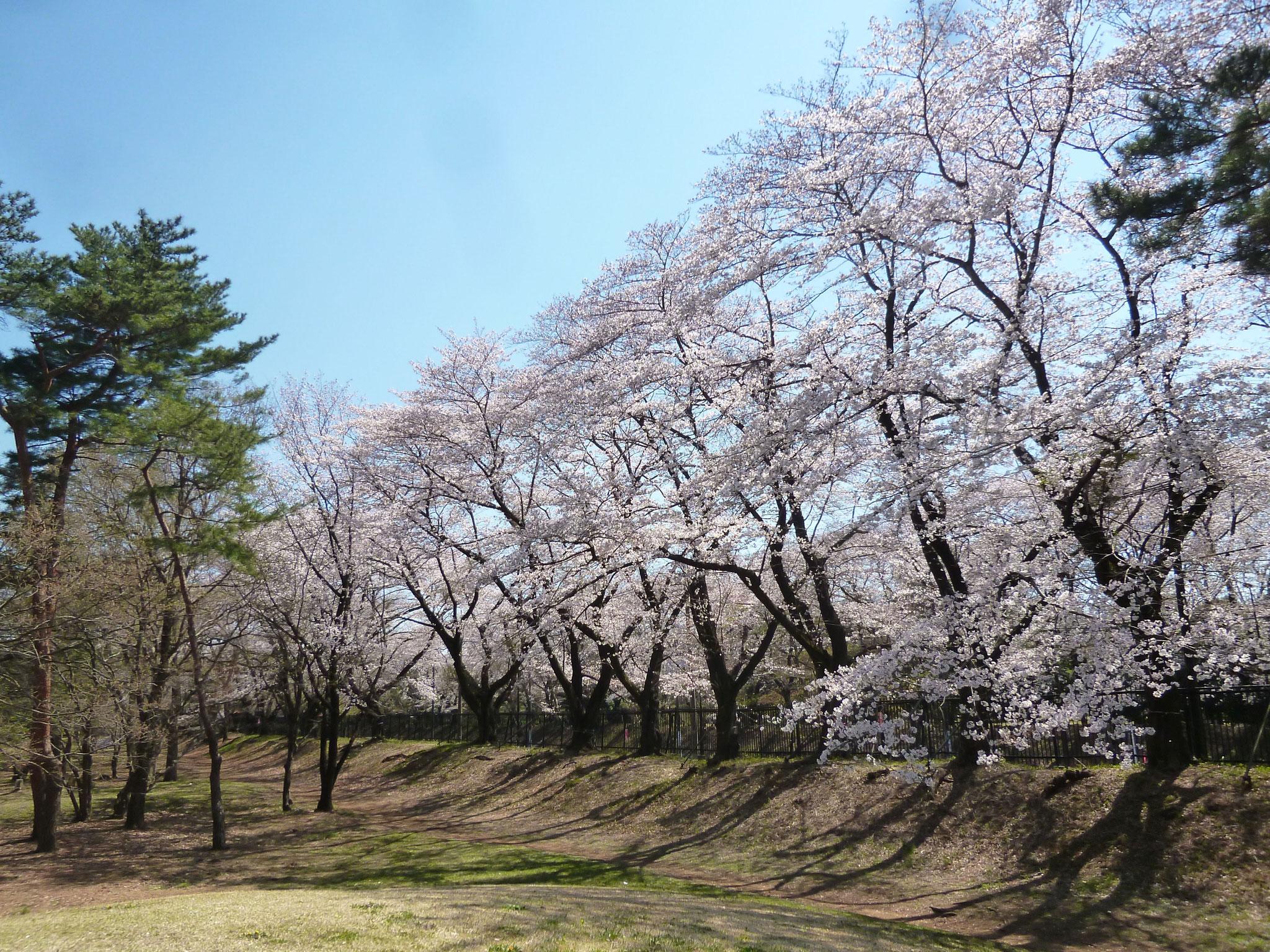 野川公園〜桜 (h31.4.4)