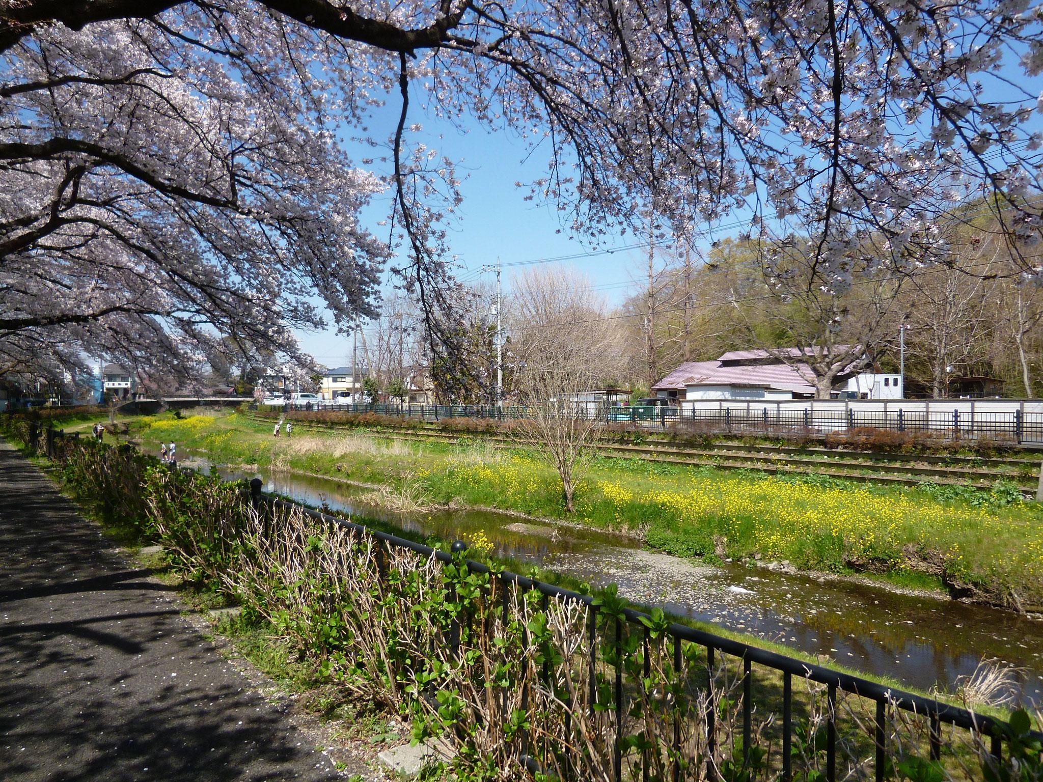 野川沿い〜桜 (h31.4.4)