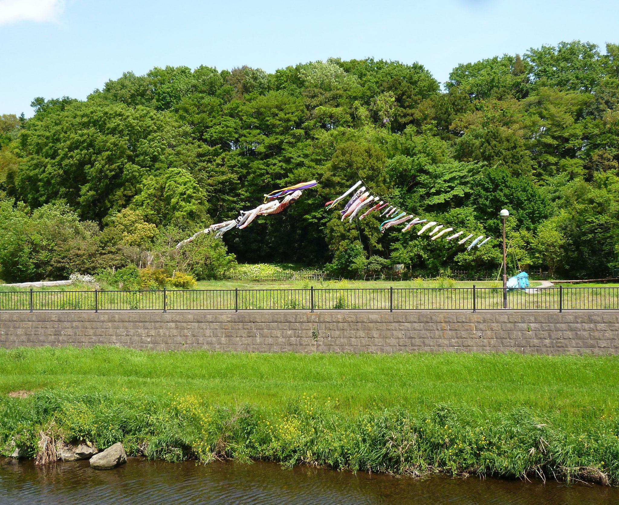 野川沿いの風景/鯉のぼり(h28.4.30)