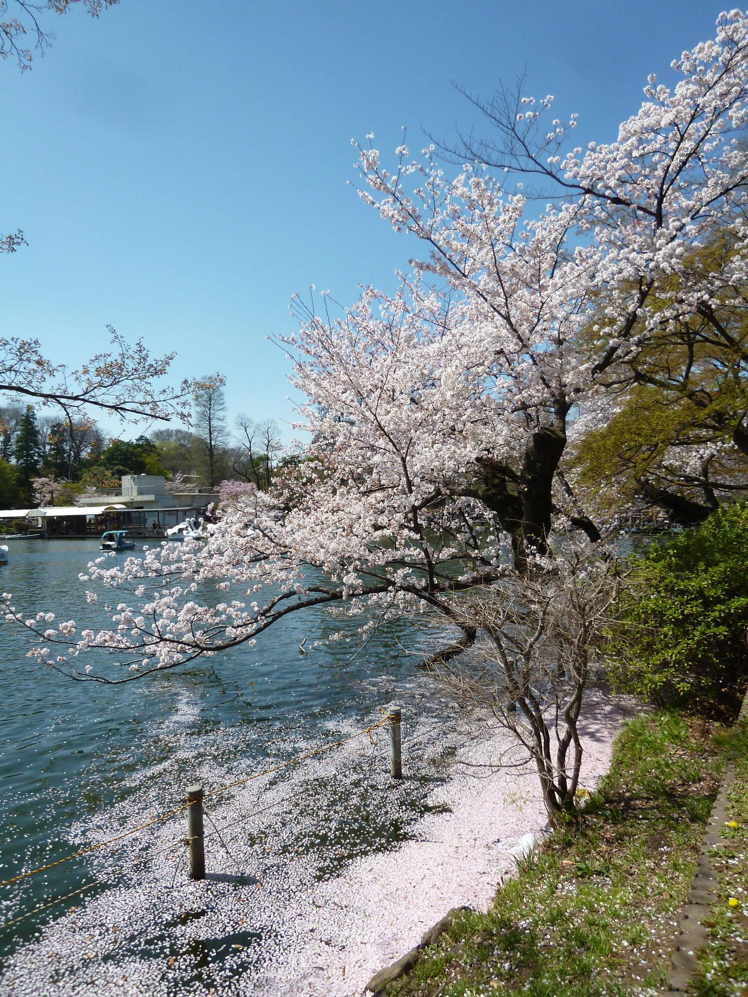 井の頭池〜桜(2018.3.30)