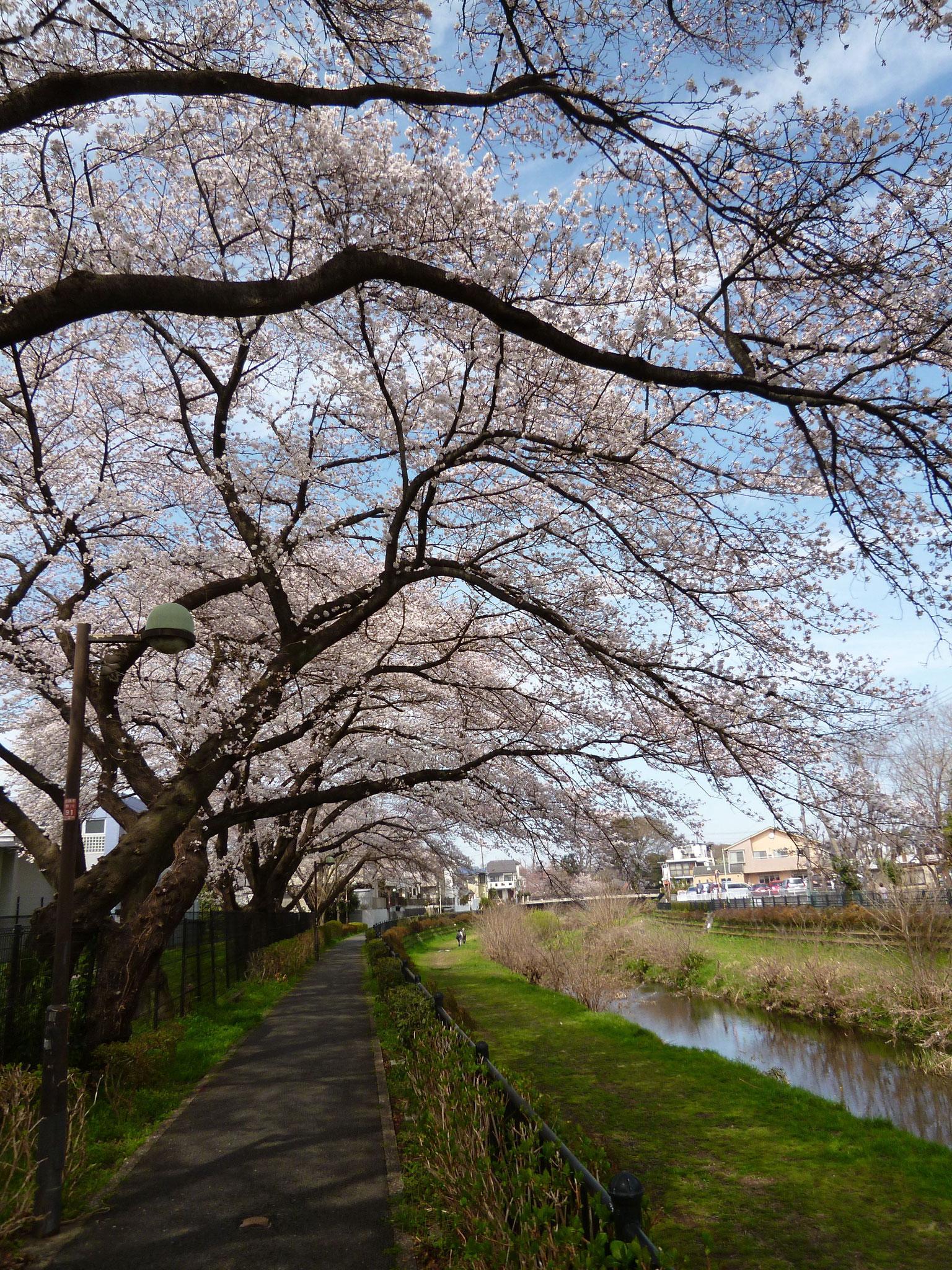 野川沿い(H.30.3.26)