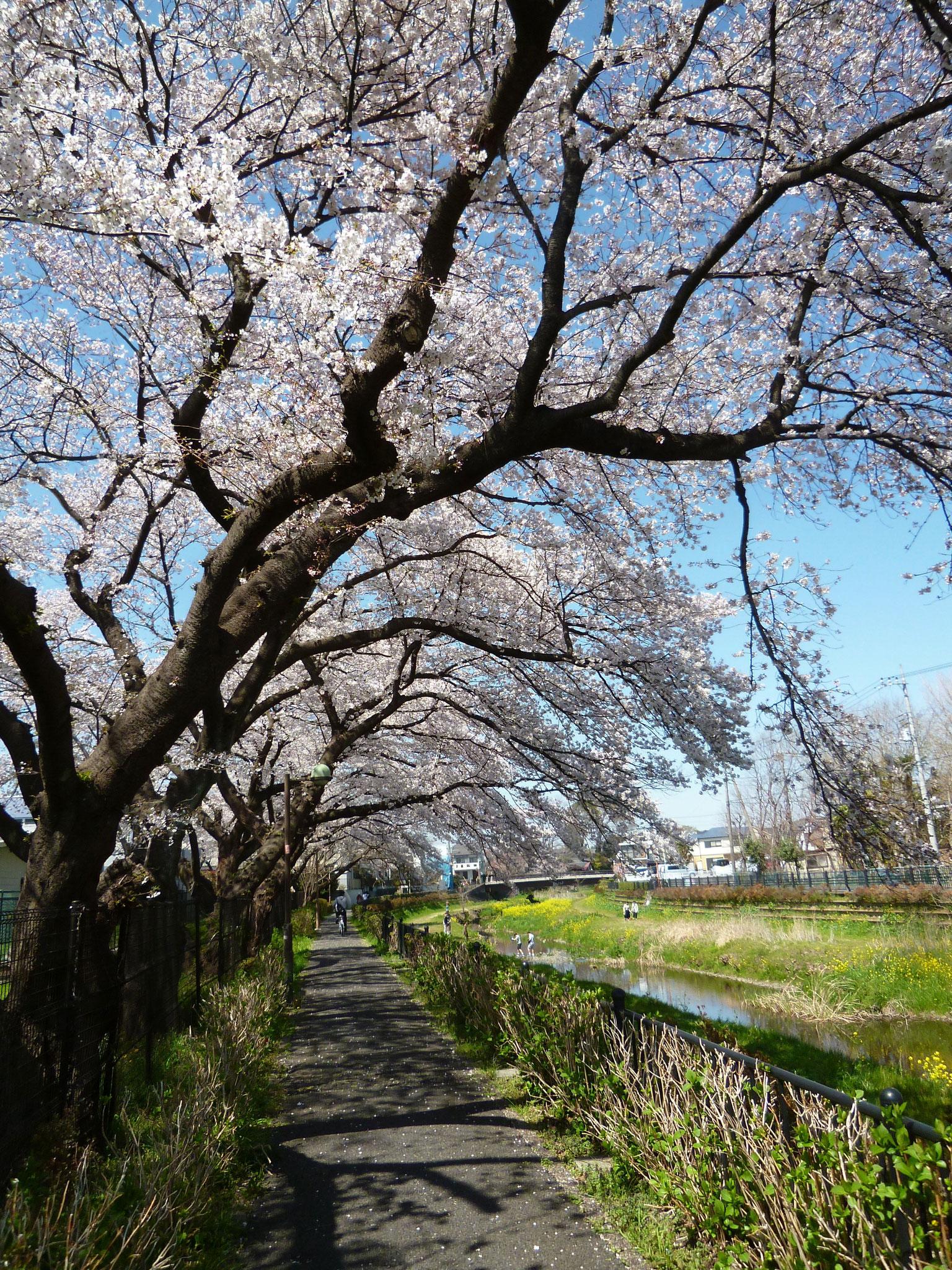 野川沿い〜桜トンネル (h31.4.4)