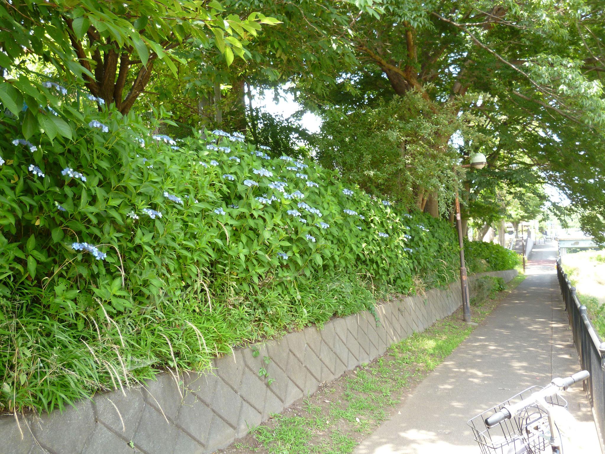 紫陽花/野川沿い(H29.6.20)