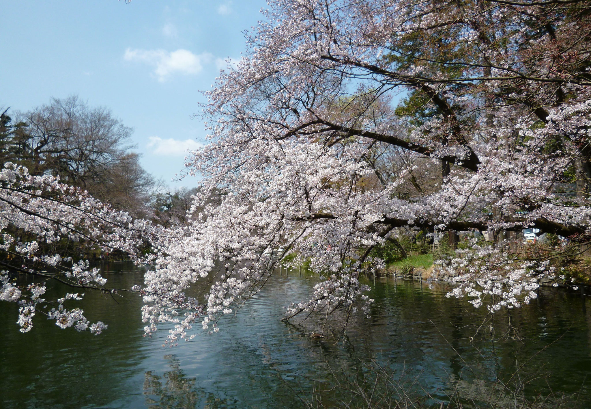 井の頭池〜桜開花(2017.4.3)