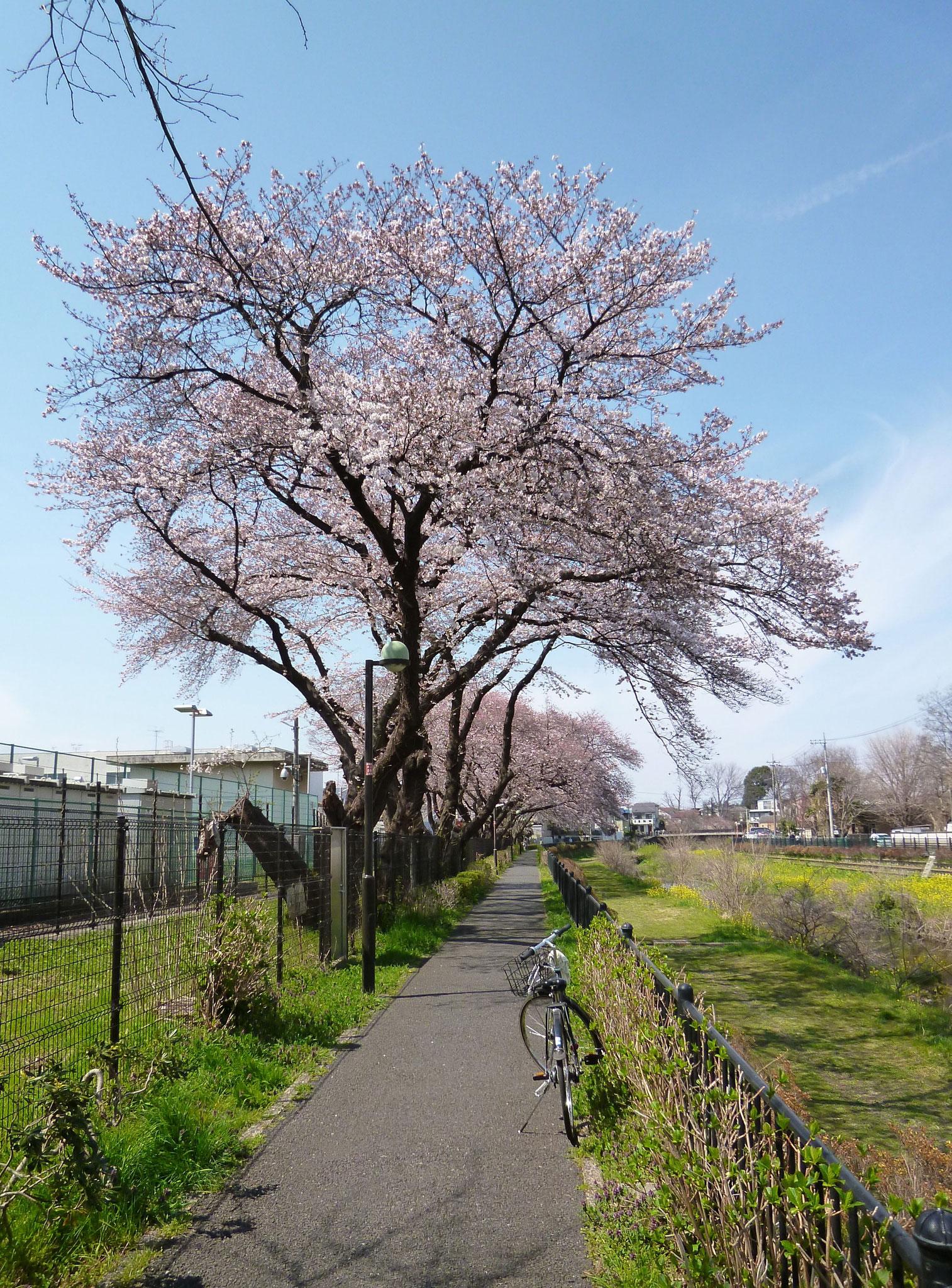 野川沿いの風景 (H29.4.5)