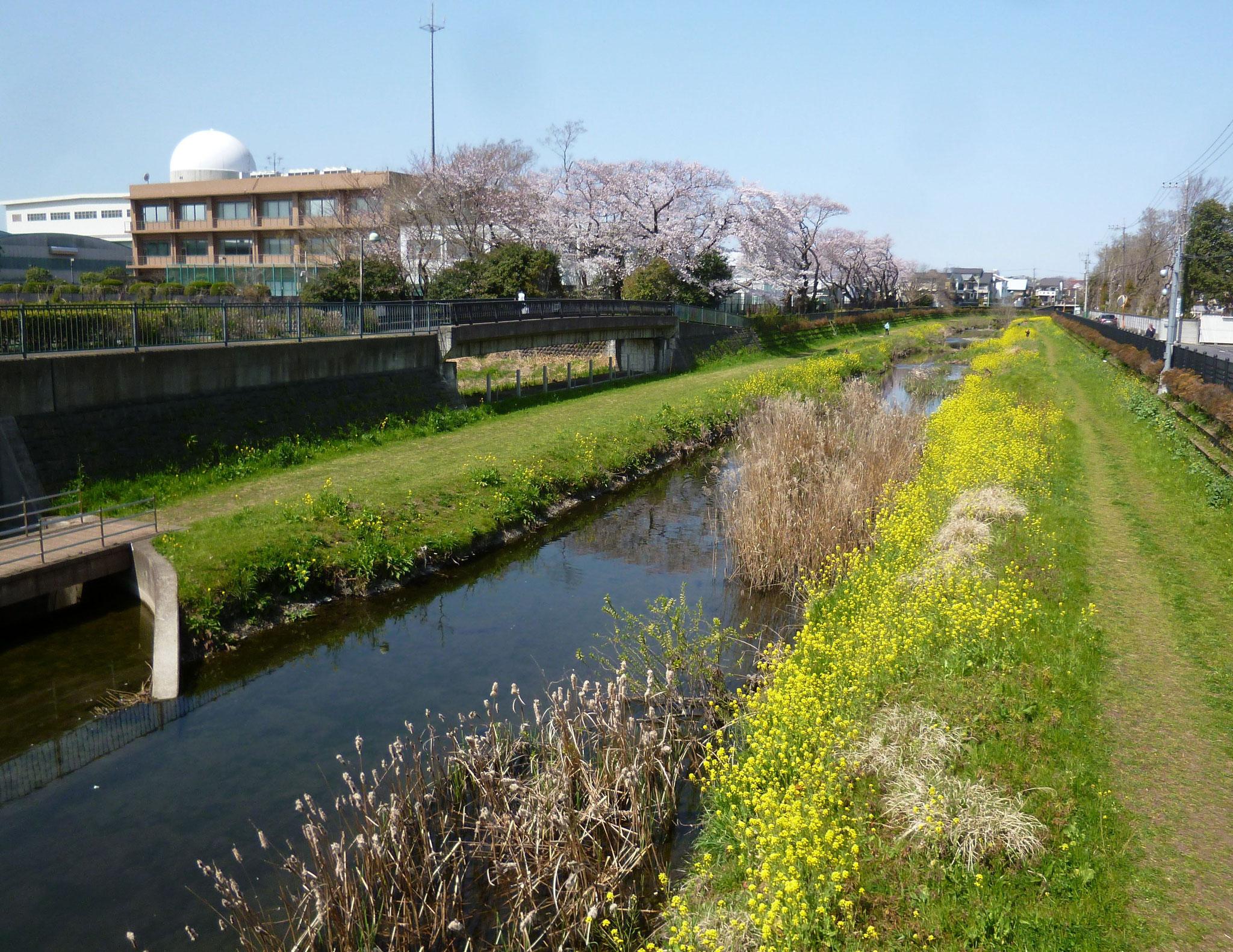 野川沿い〜桜&菜の花(2020.3.26)