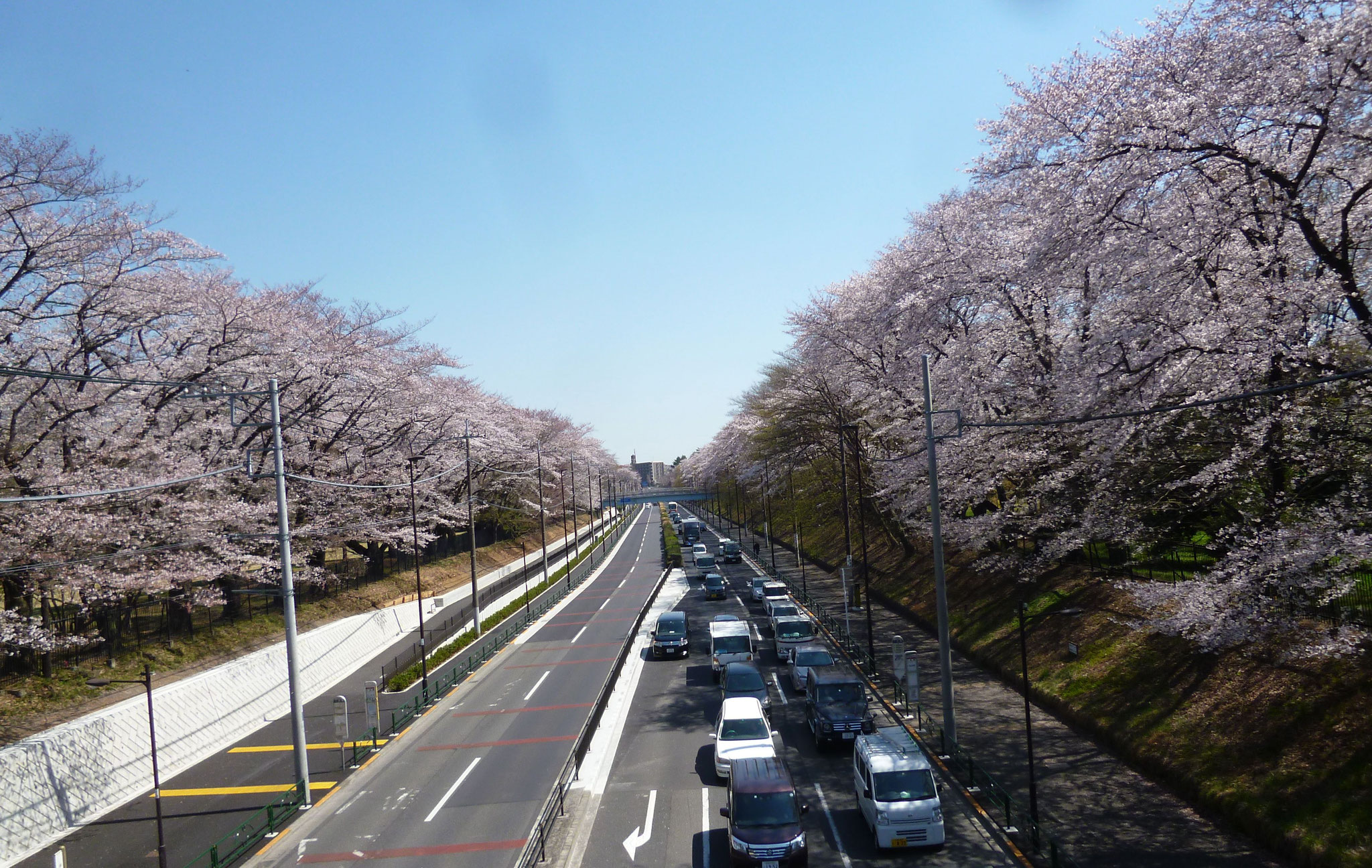 野川沿い/東八道路〜桜 (h31.4.4)