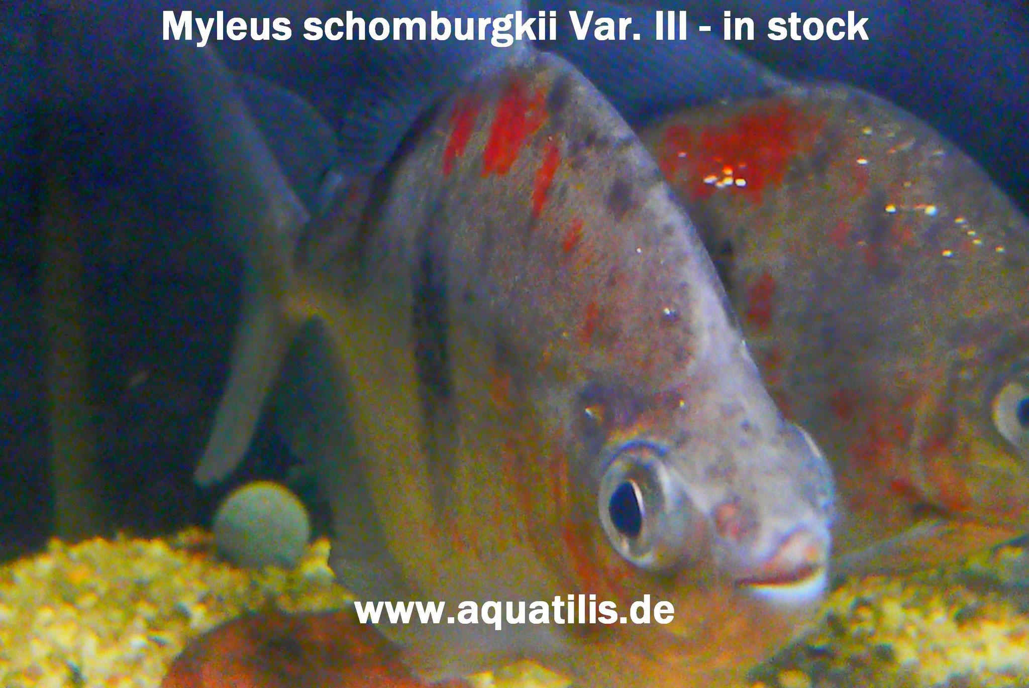 Myleus schomburgkii Variante 3,  Foto:  Peter Jaeger - Aquatilis