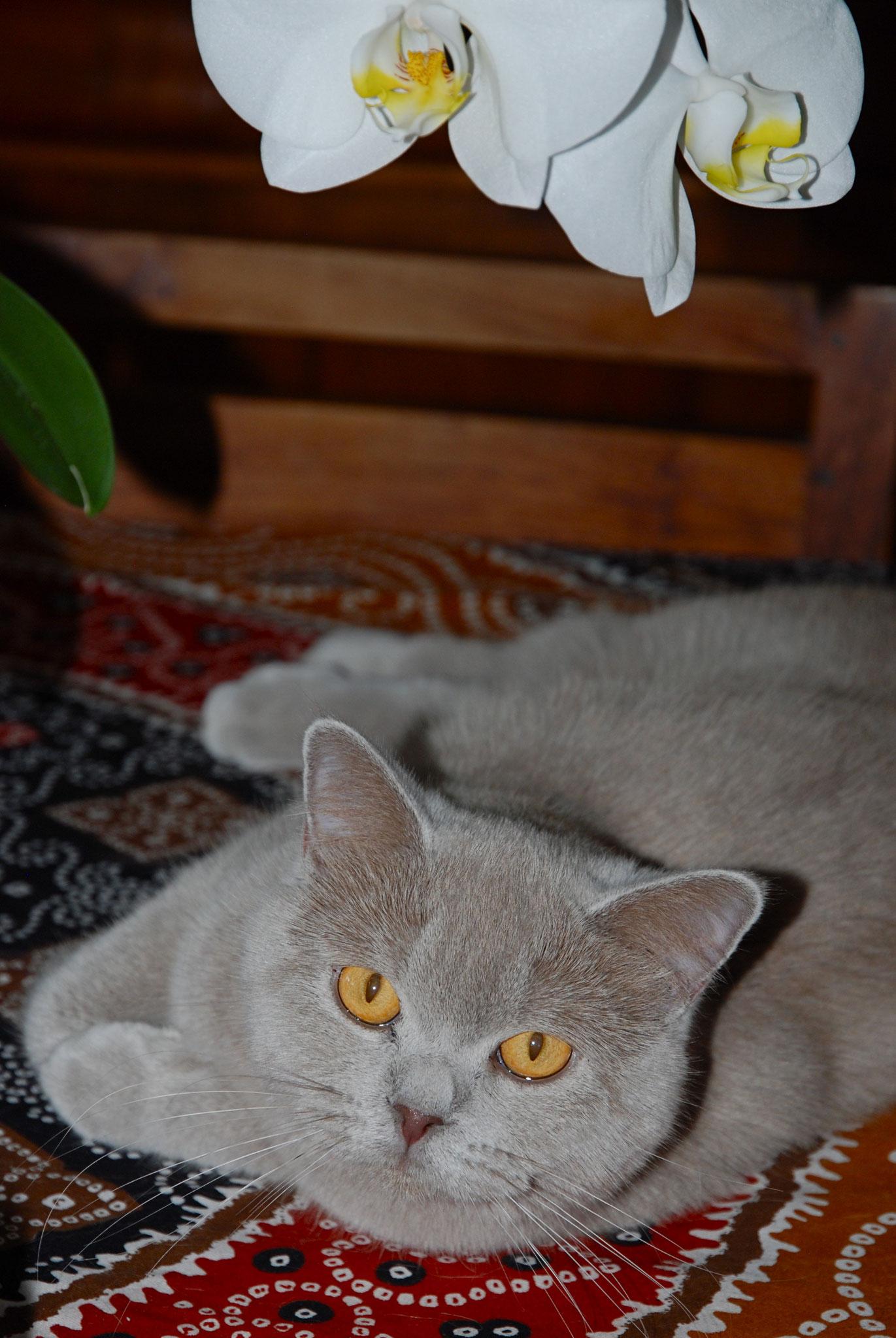 Lisbeth, femelle lilac