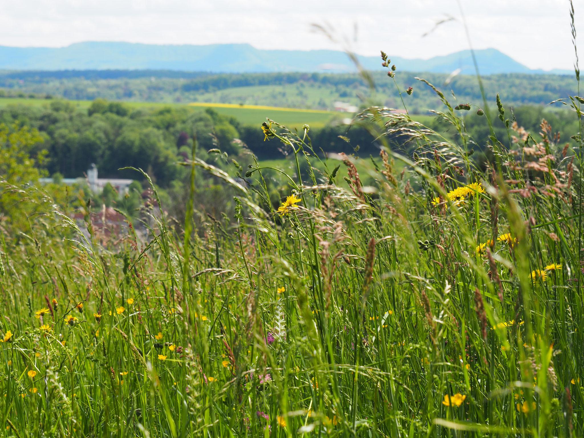 Unglaubliche Vielfalt an Gräsern und Kräutern auf Magerwiesen.