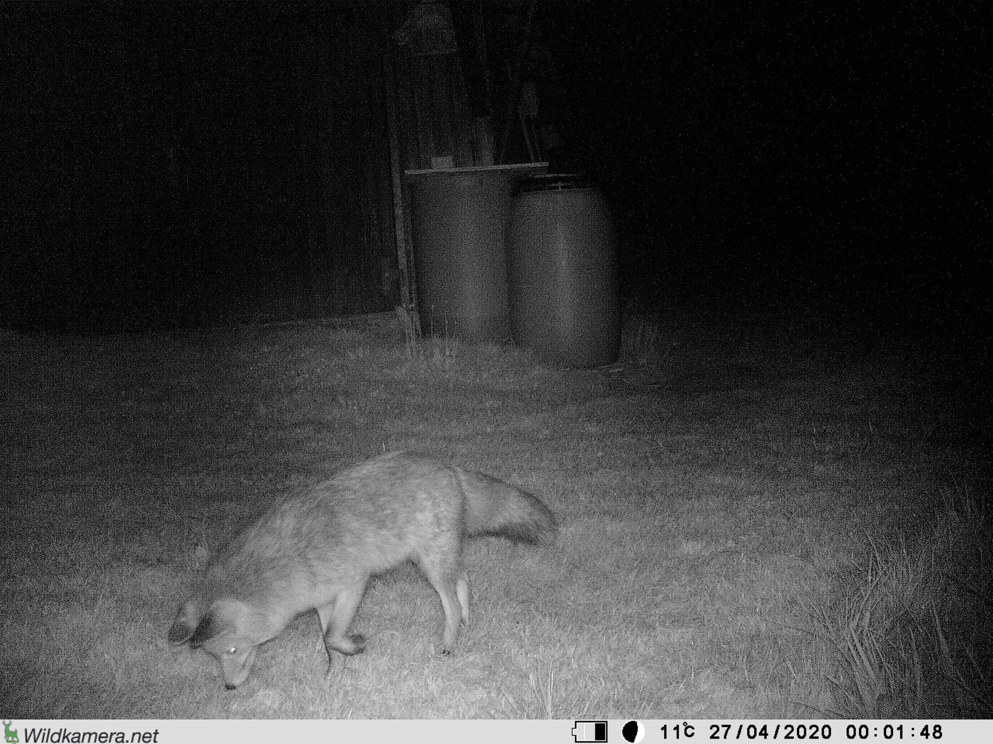 und der Fuchs sucht nach den dortigen Mäusen.
