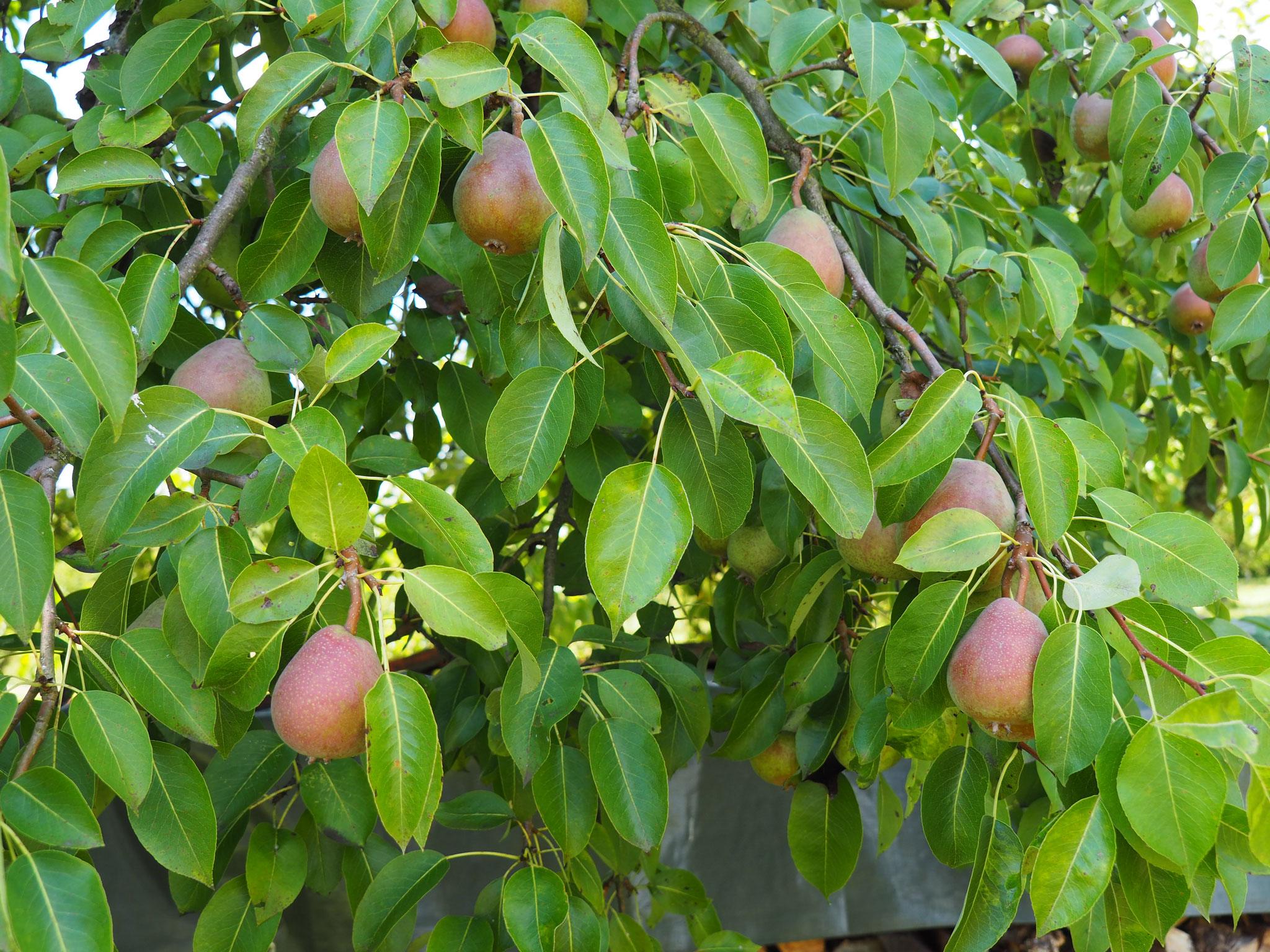 Vorteil der Trockenheit und Wärme: Kein Gitterrost bei Birnen.