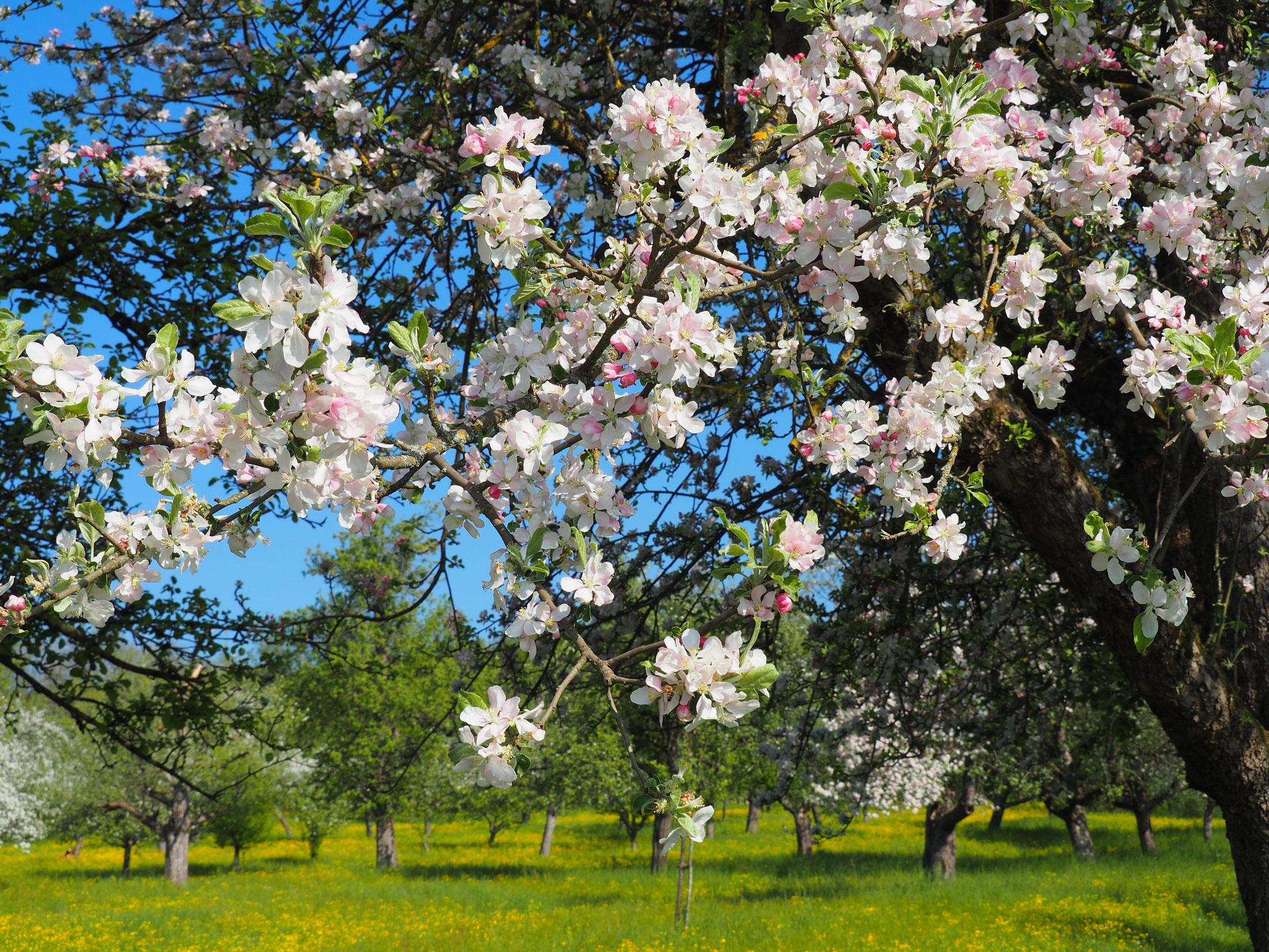 Am 25. April wäre unser Blütenrundgang gewesen.
