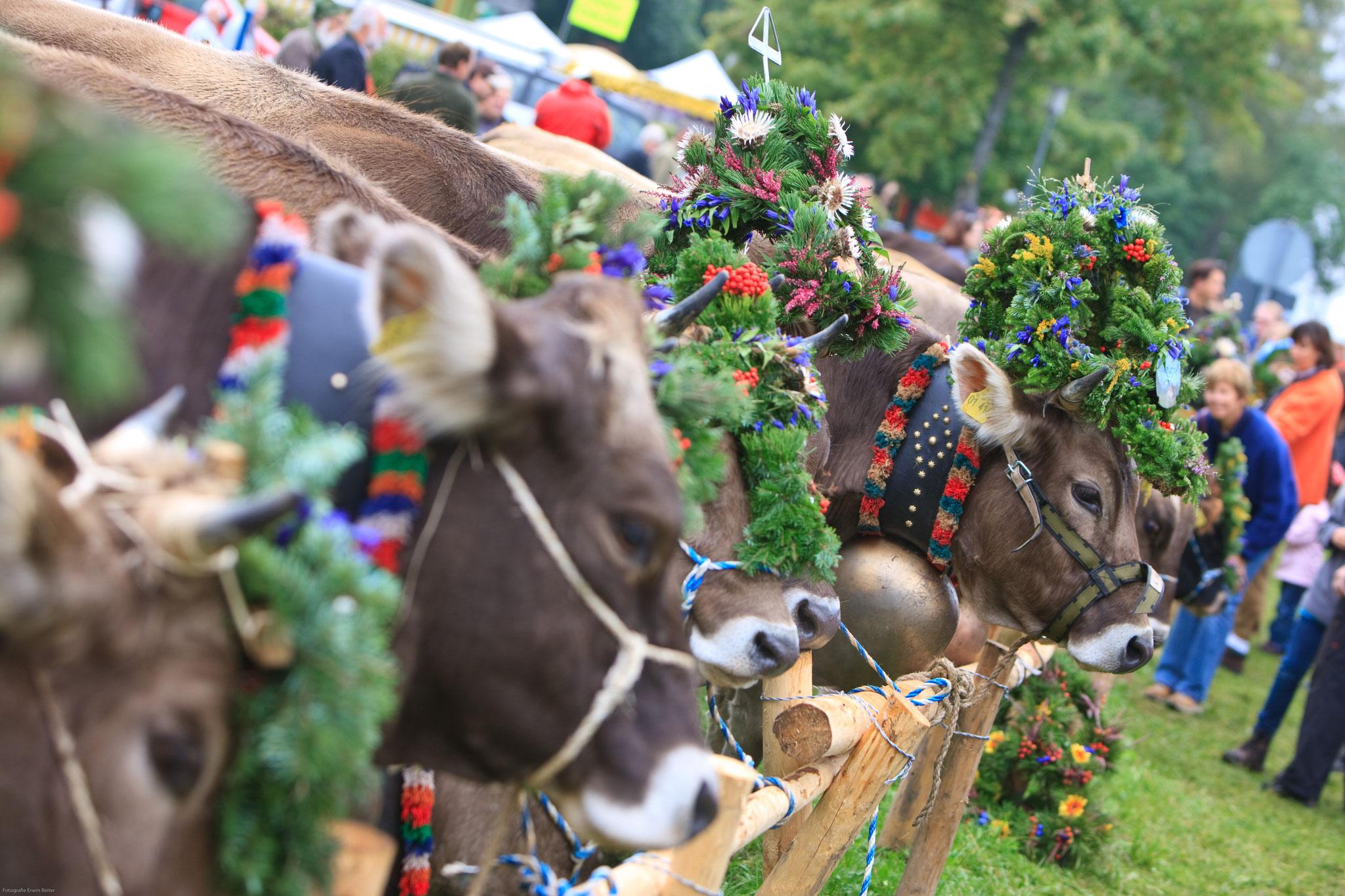 Traditionelle Viehscheid im Herbst (Pfronten Tourismus, E. Reiter)