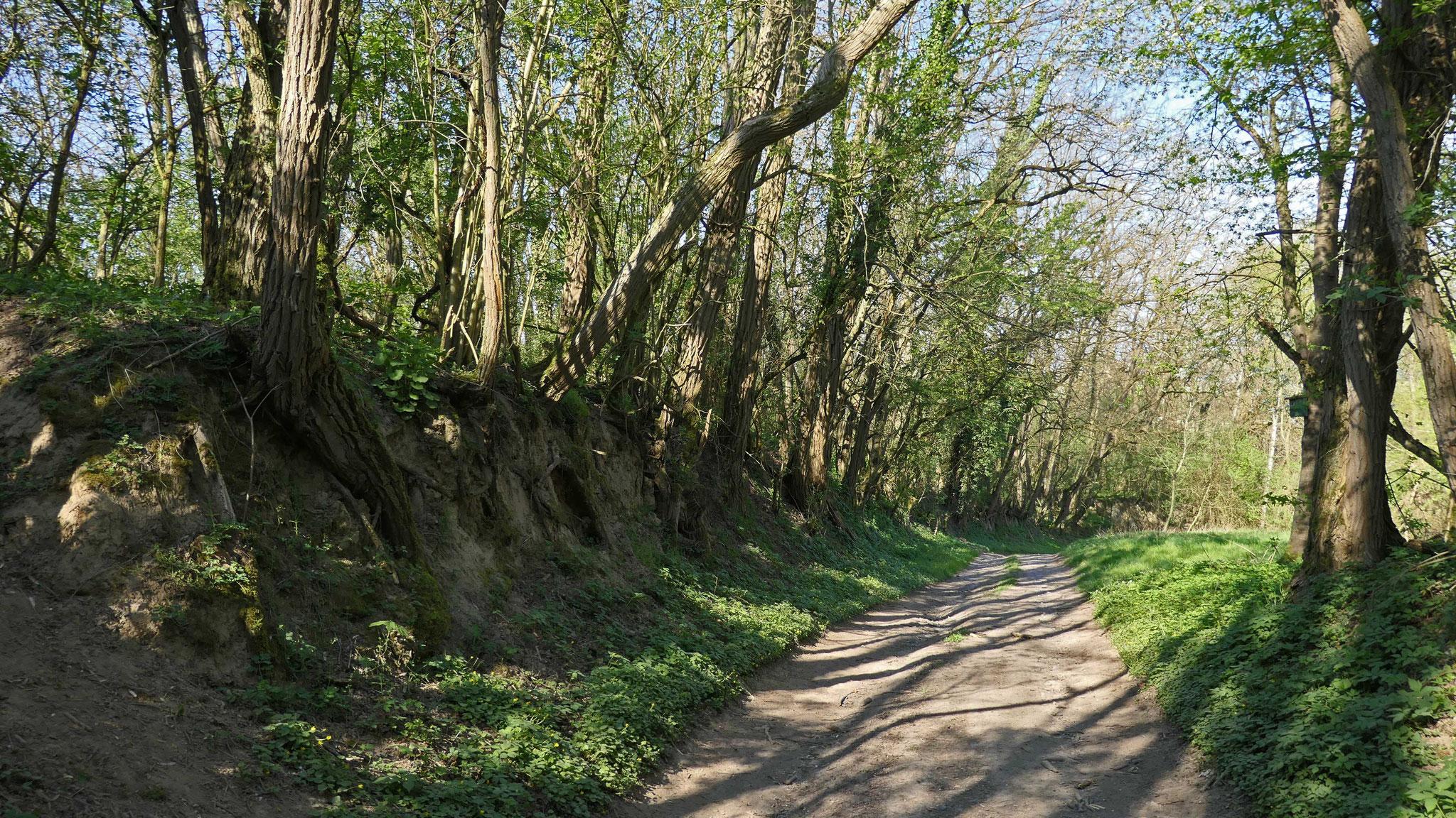 Hohlweg im südlichen Teil des Birkenwald-Rundwegs