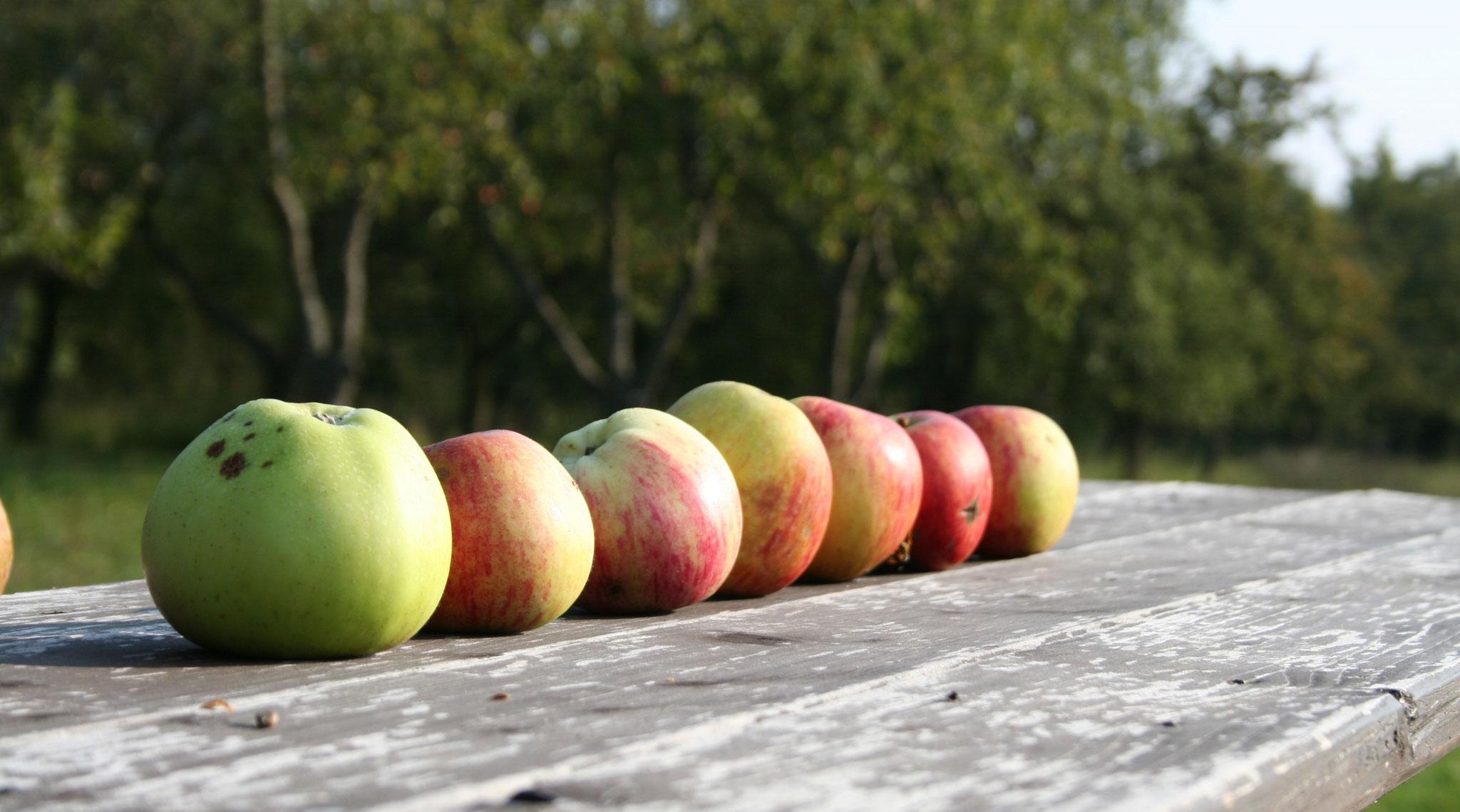 ... und die schönsten Äpfel gleich aufessen.