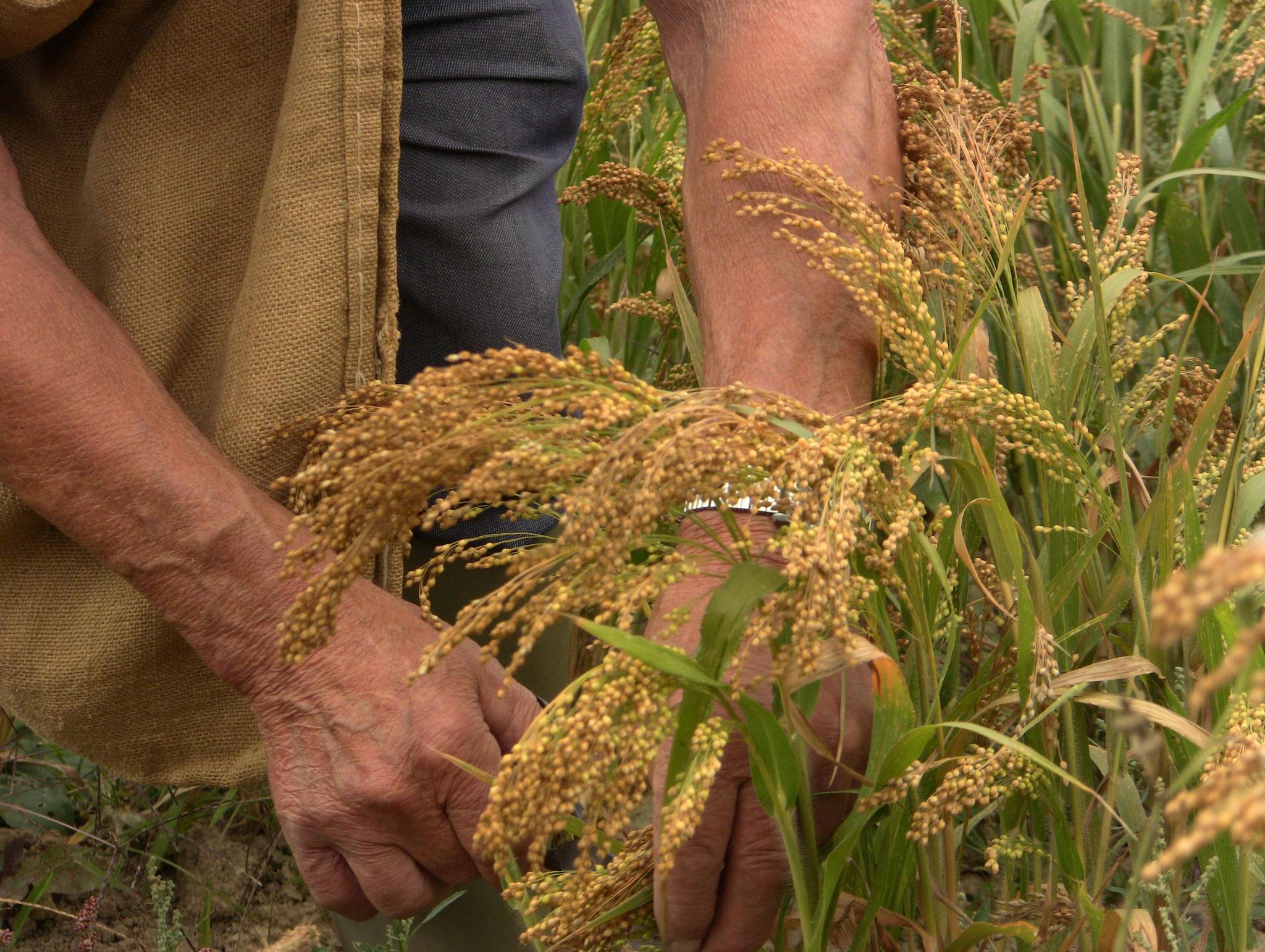 récolte à la main du millet (85)
