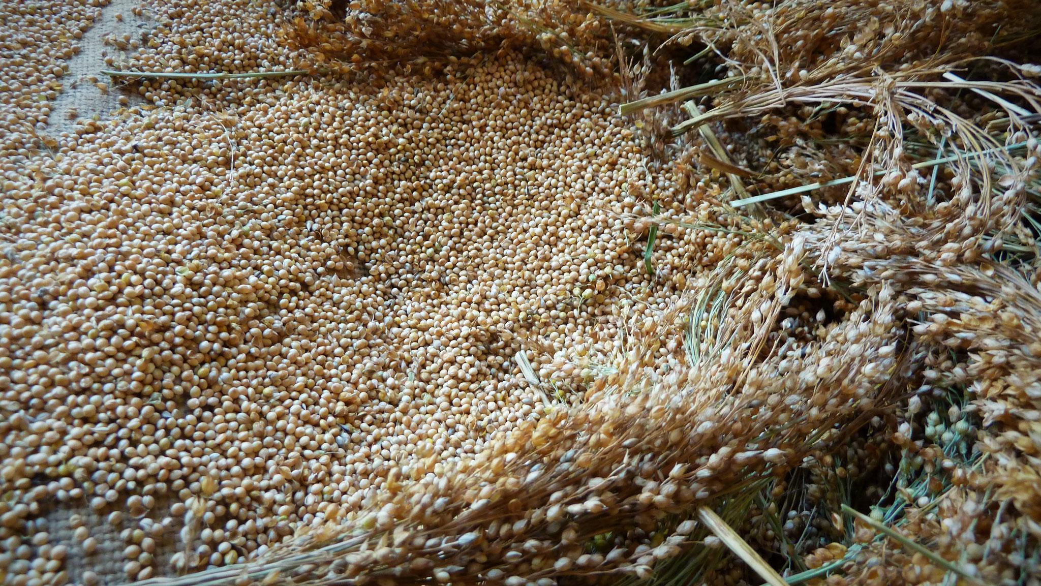 séchage du millet