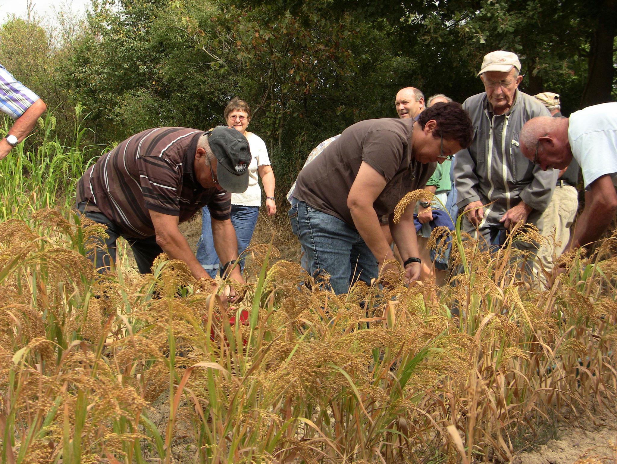 Récolte du millet à l'ancienne (85)