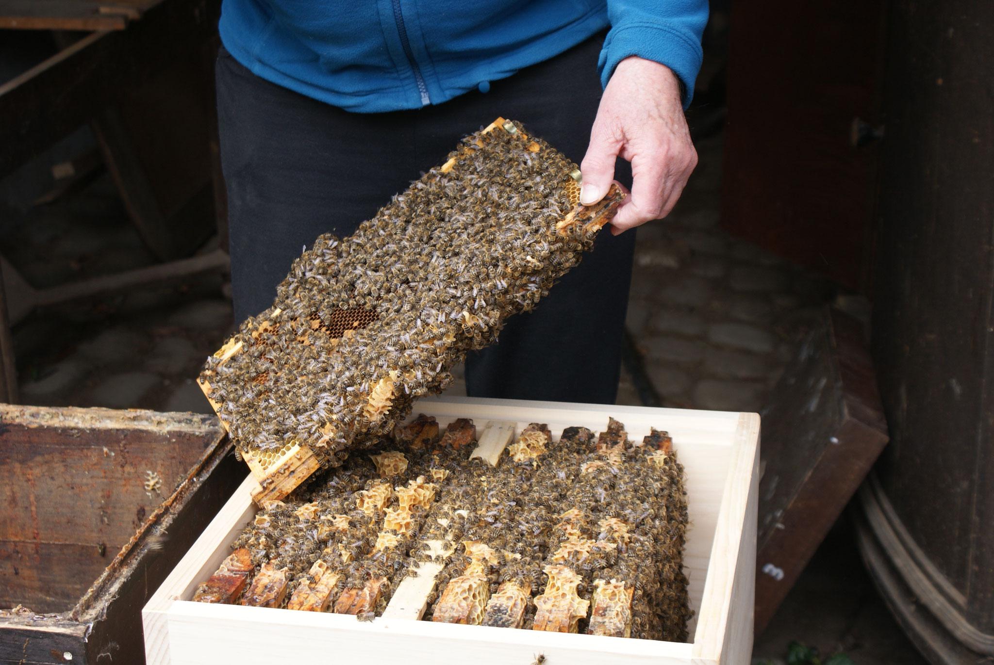 Ein starkes Bienenvolk