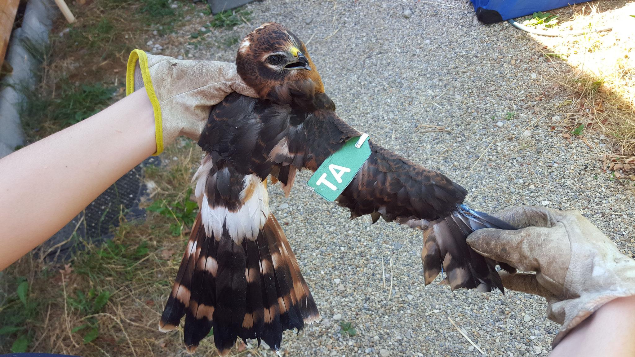 Flügeloberseite mit Marke - das Männchen stammte aus dem LBV-Schutzprogramm; Foto N. Haas
