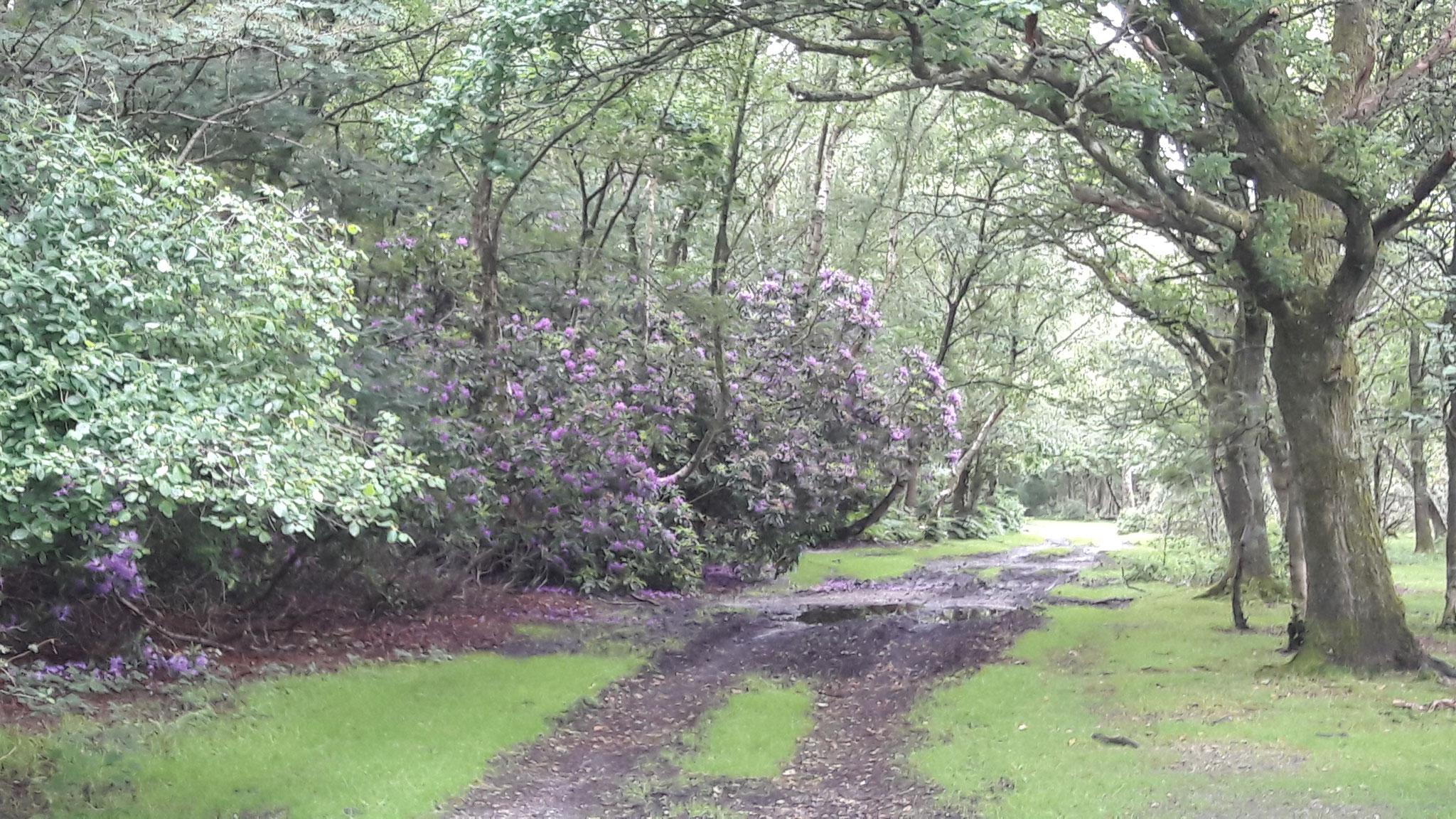 Zur Zeit blüht hier überall der wilde Rhododendren