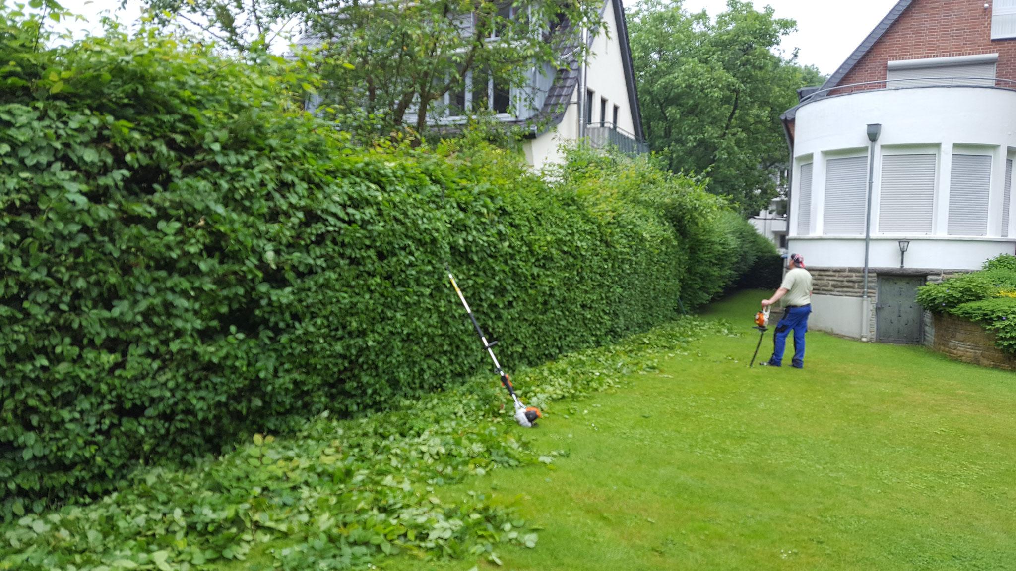 Gartenpflege Aachen schneidet Hecke bei einem Privatkunden