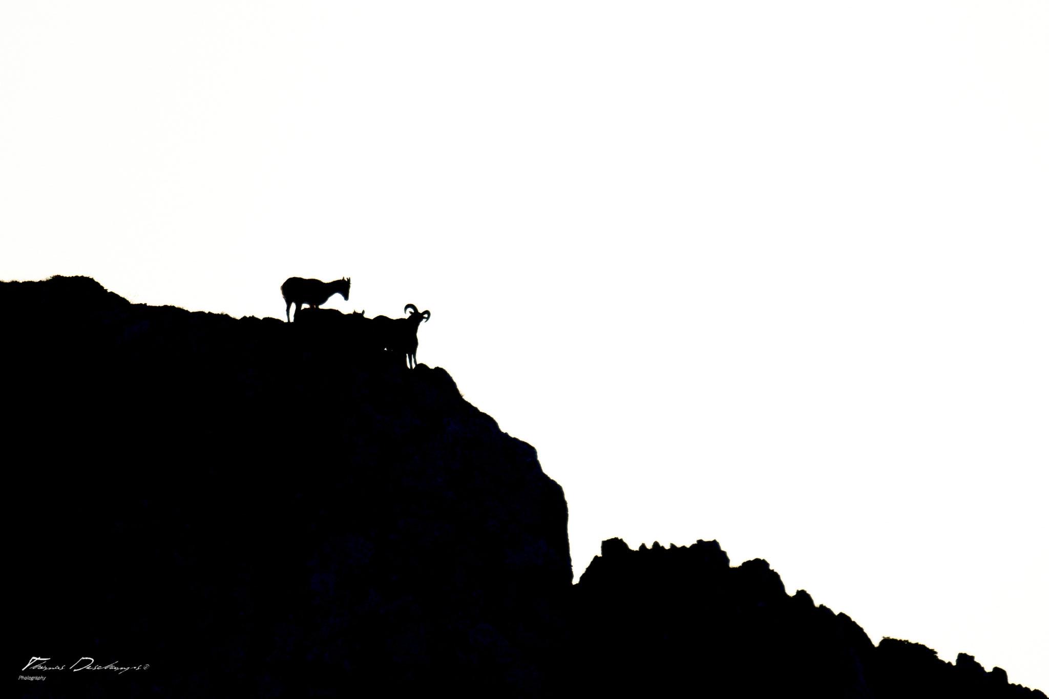 Thomas Deschamps Photography Mouflon France photo Mouflon picture wildlife