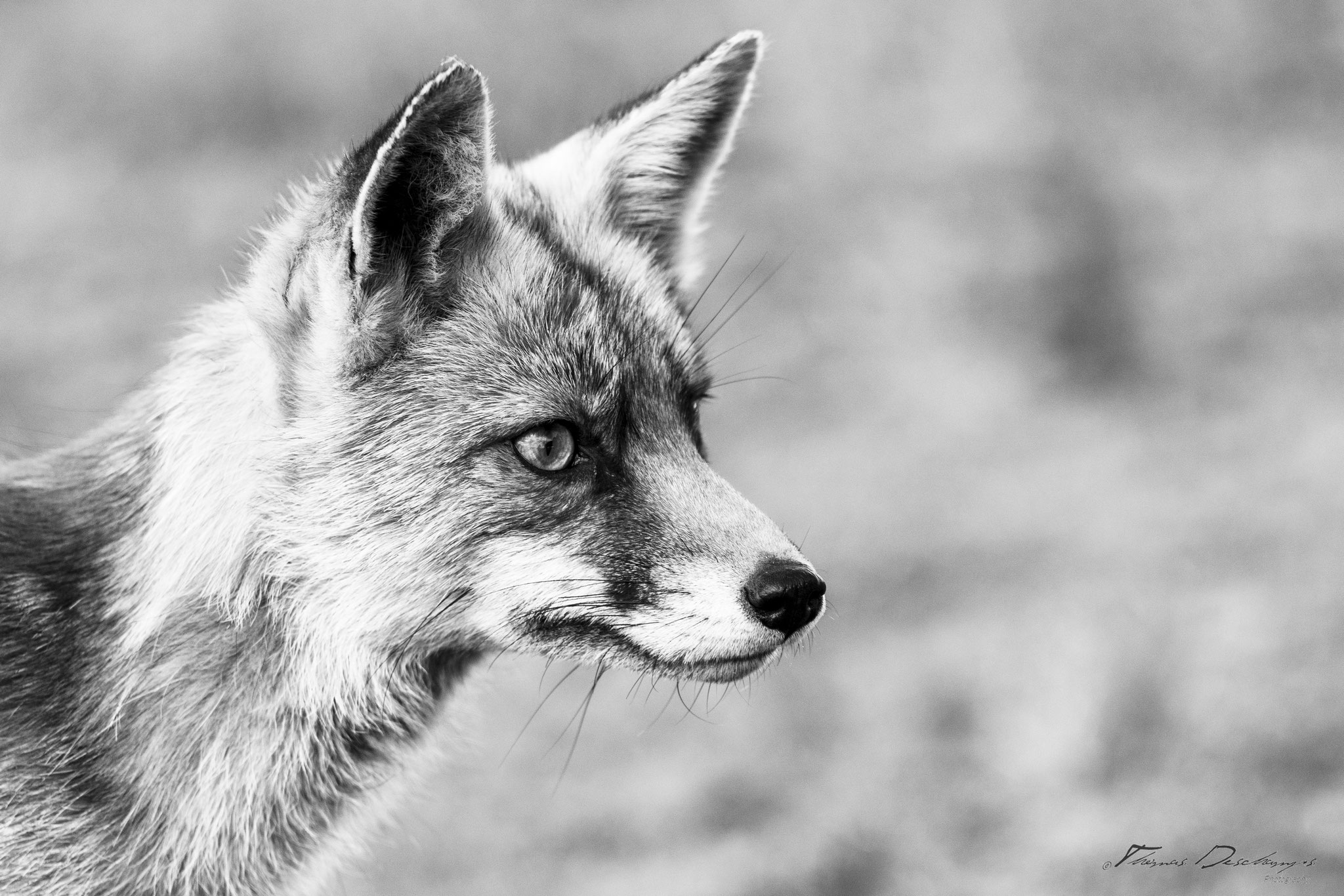Thomas Deschamps Photography Renard Pays Bas photo Red fox Netherlands picture wildlife