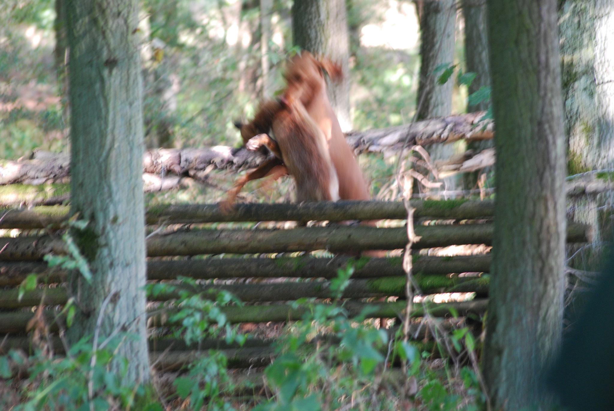 Fuchs über Hindernis - so muss es aussehen.
