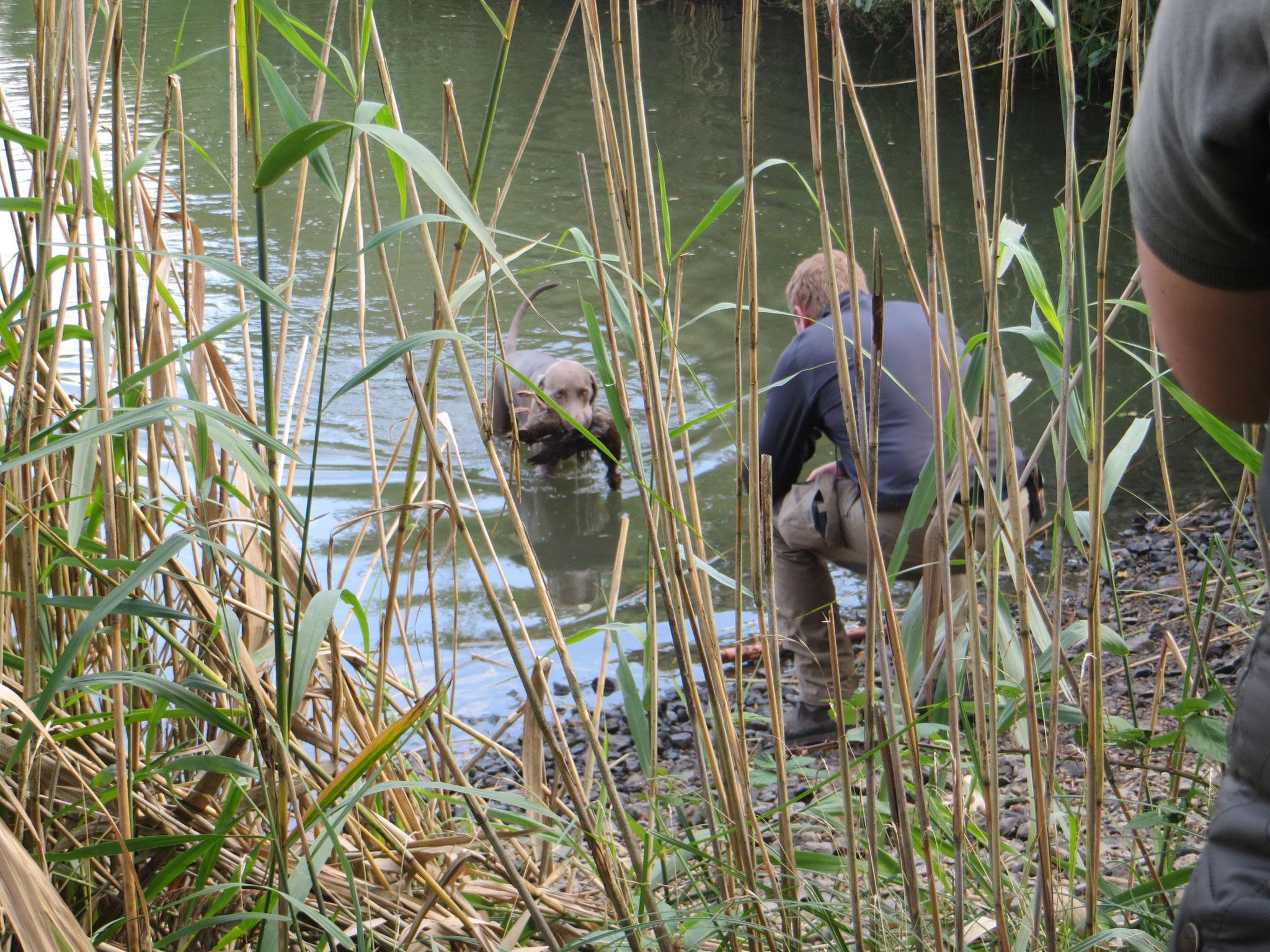 Amras bringt die Ente nach Überprüfung der Schussfestigkeit am Wasser.