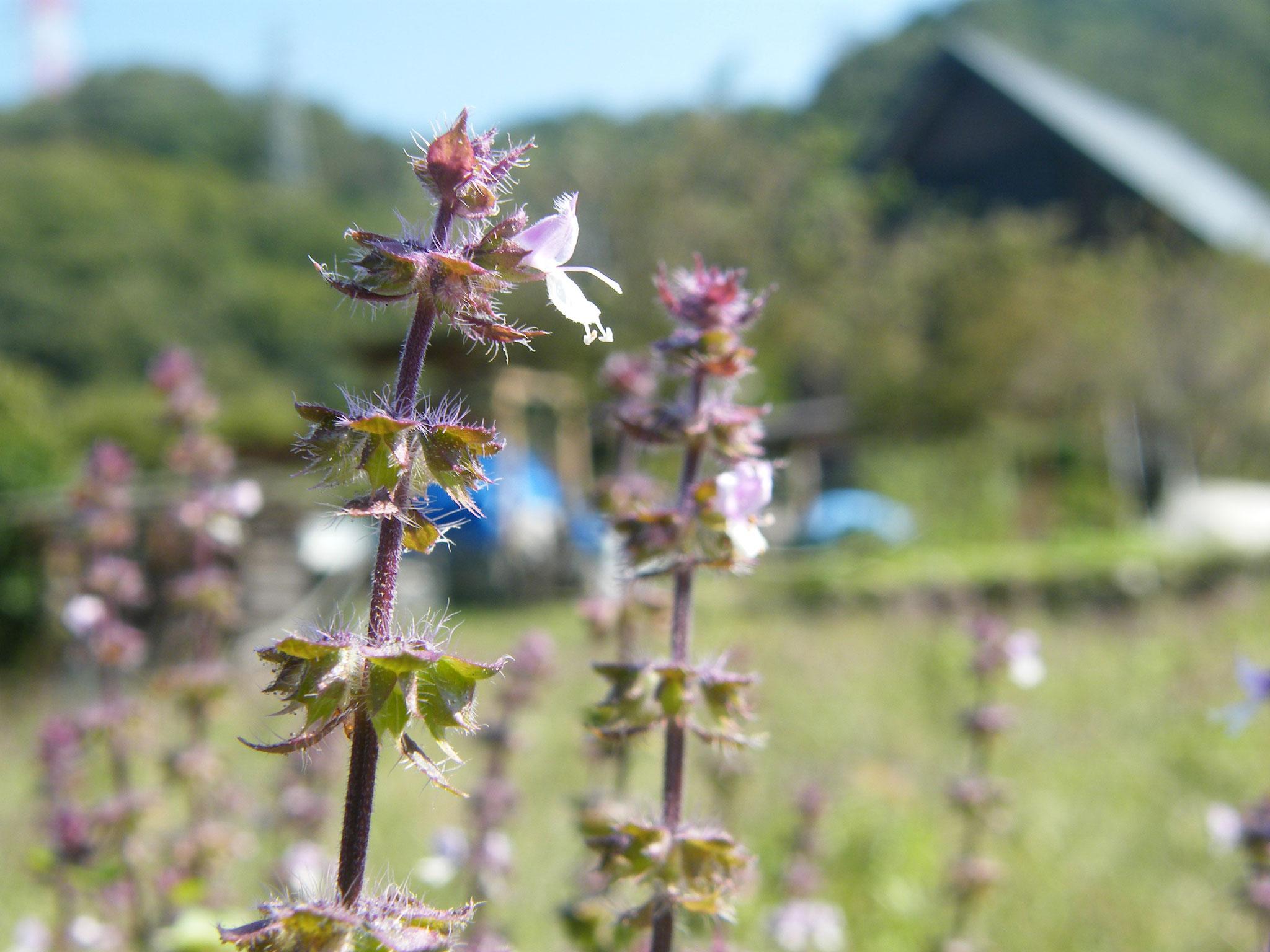 ホーリーバジル花穂
