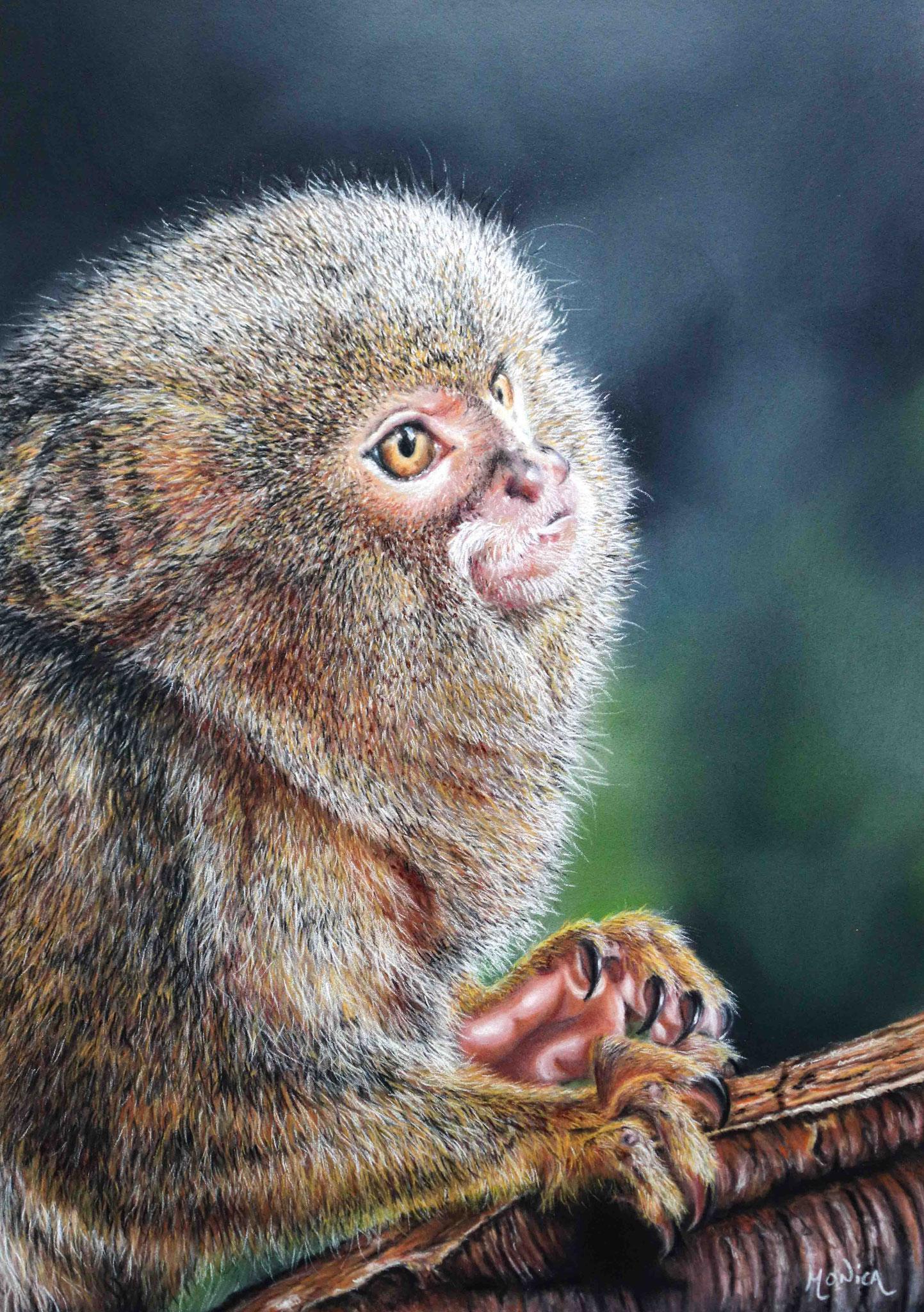 Pygmee Oeistiti