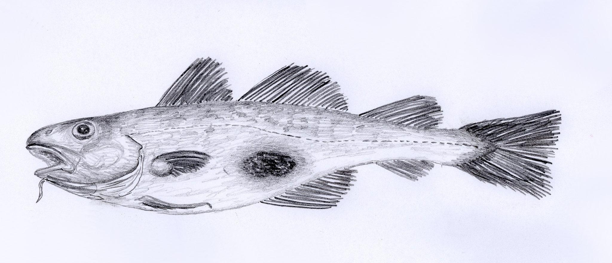 Dorsch mit Hautläsion bakteriellen Ursprungs, 2005, Bleistift auf Papier, 30 x 21 cm