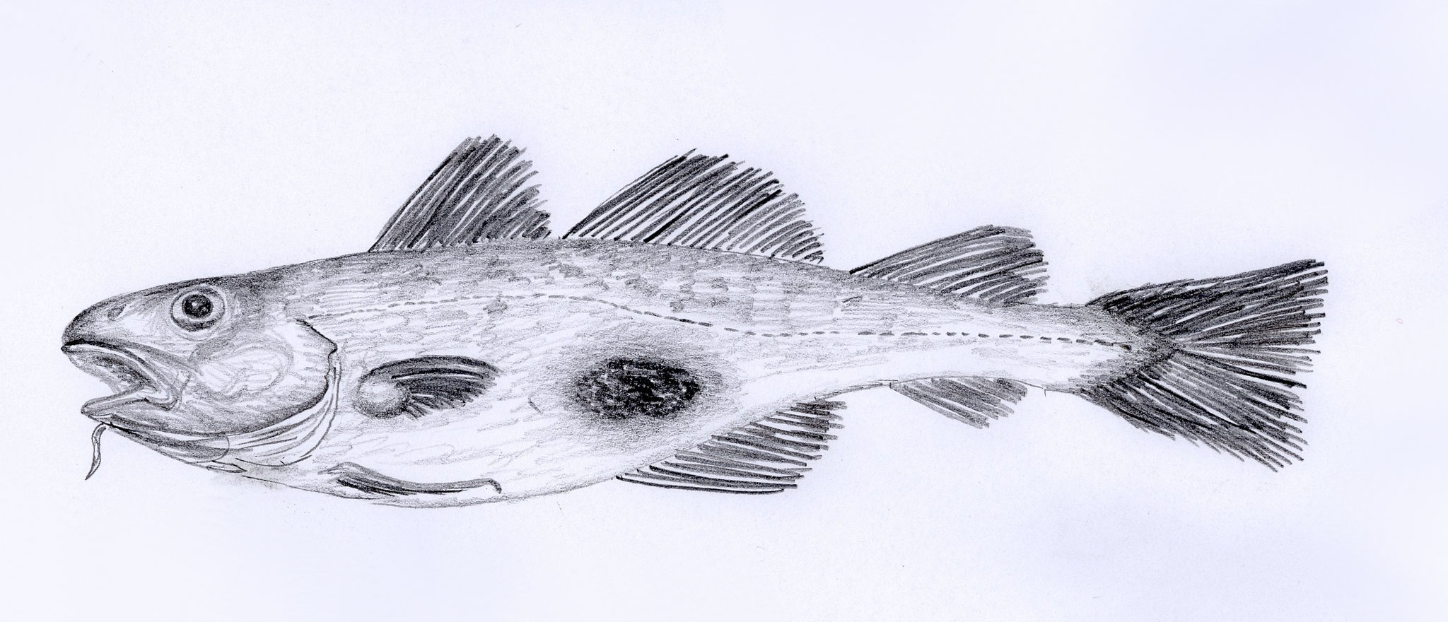 cod with skin ulceration caused by bacteria, 2005, pencil on paper, 30 x 21 cm