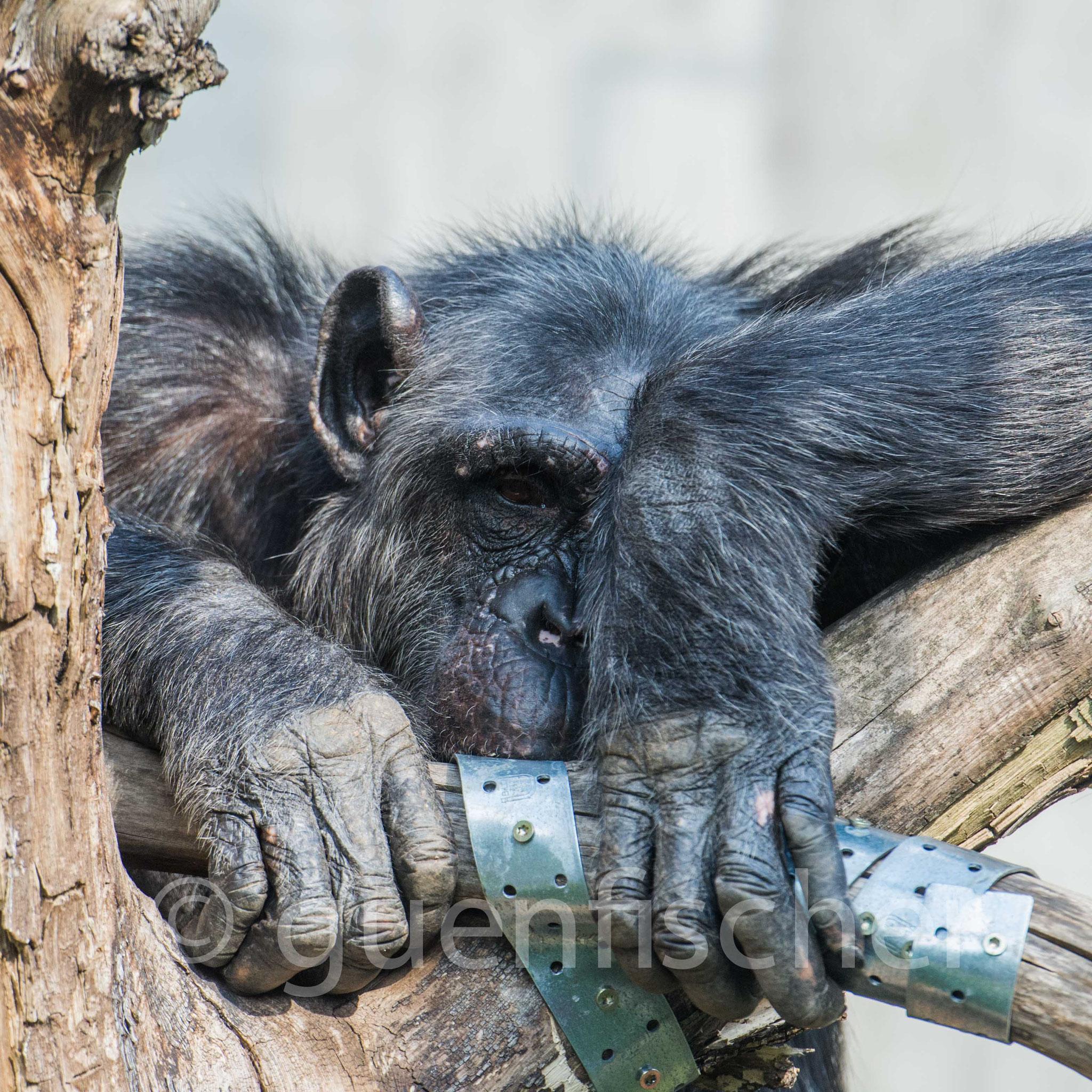 Schimpanse - 2