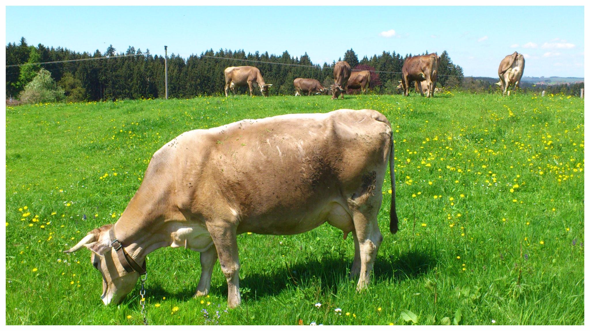 Allgäuer Braunvieh