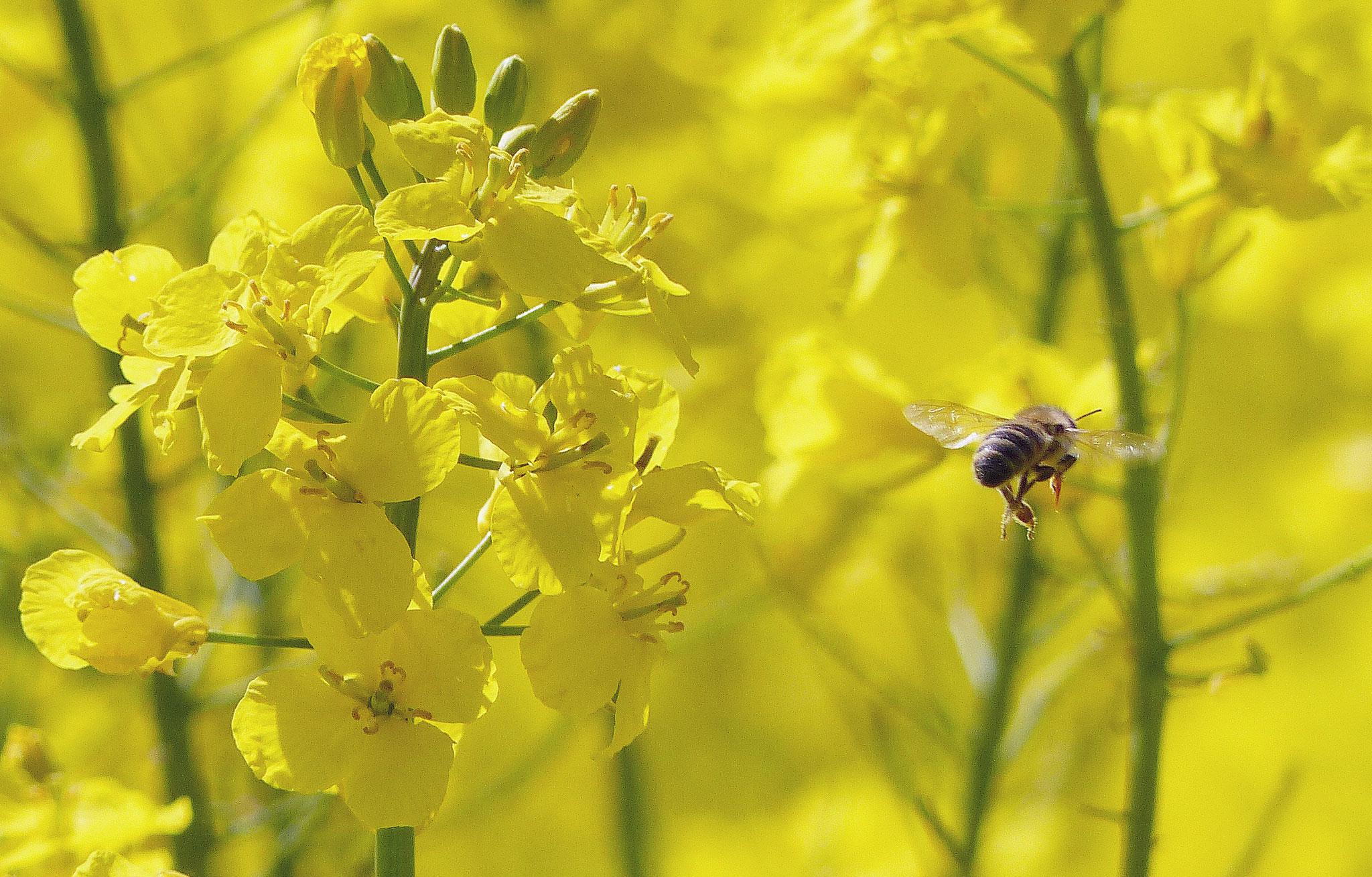 Unsere Bienen sorgen für Bienenwachs und Propolis