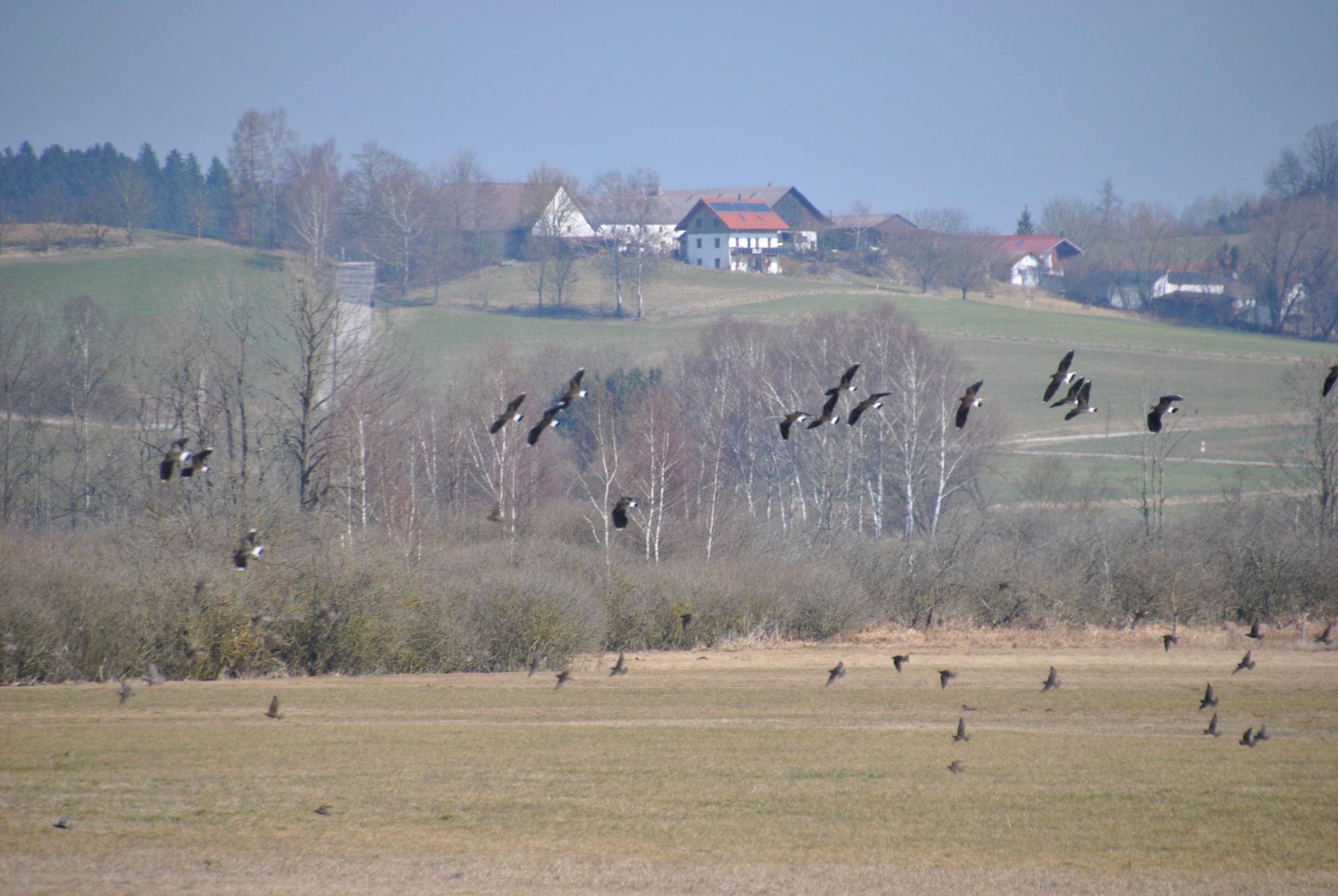 Kiebitze im Flug © Ingrid Schubert