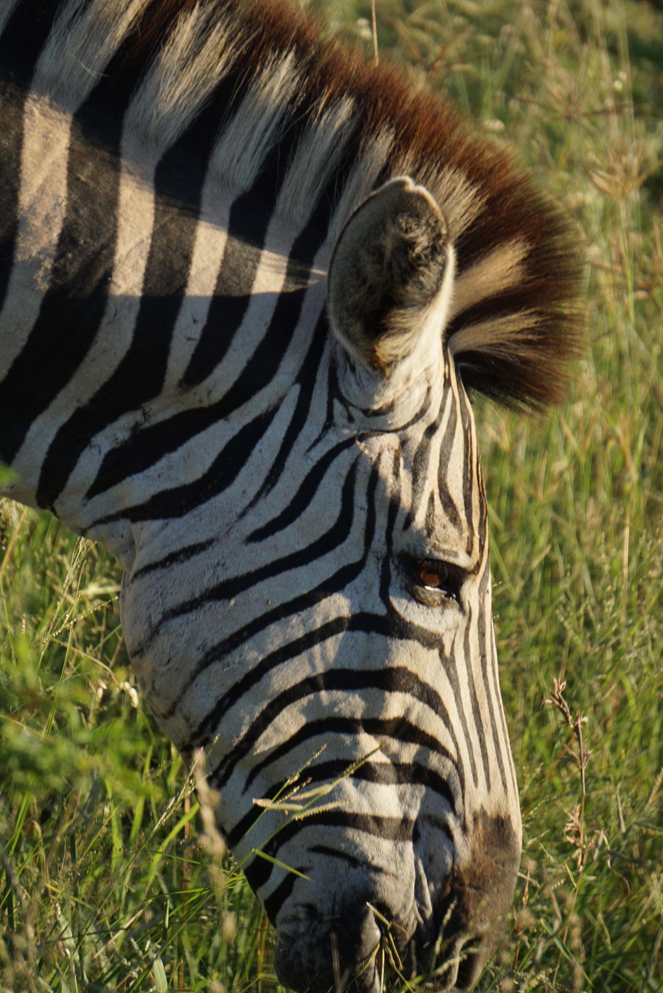 Bild: Zebra