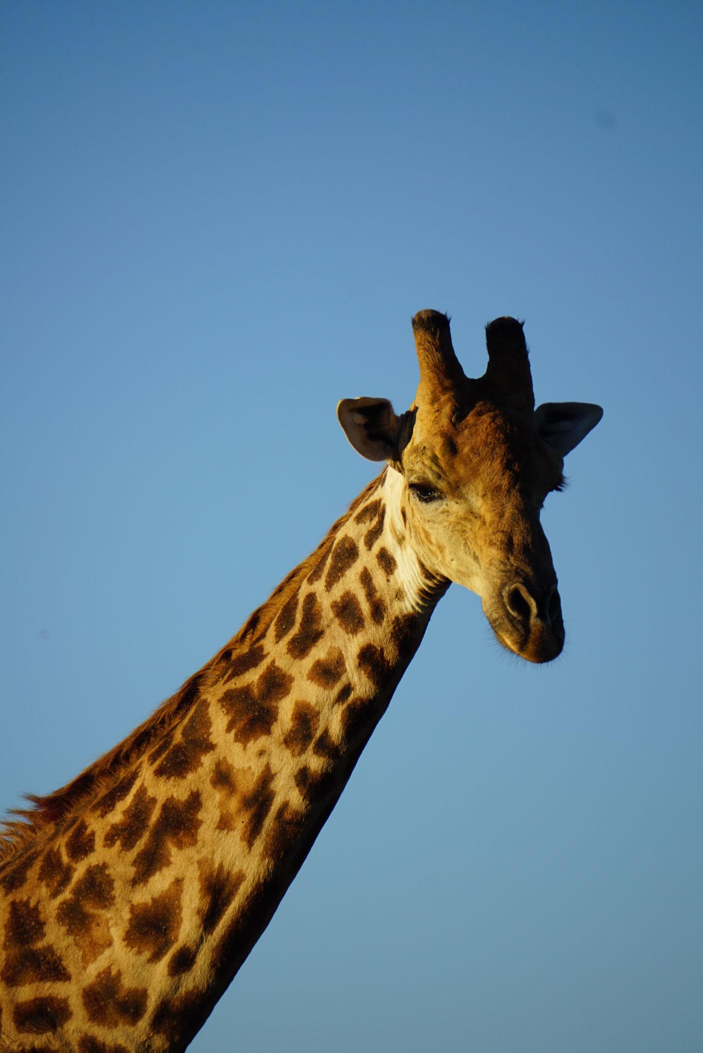 Bild: Giraffe